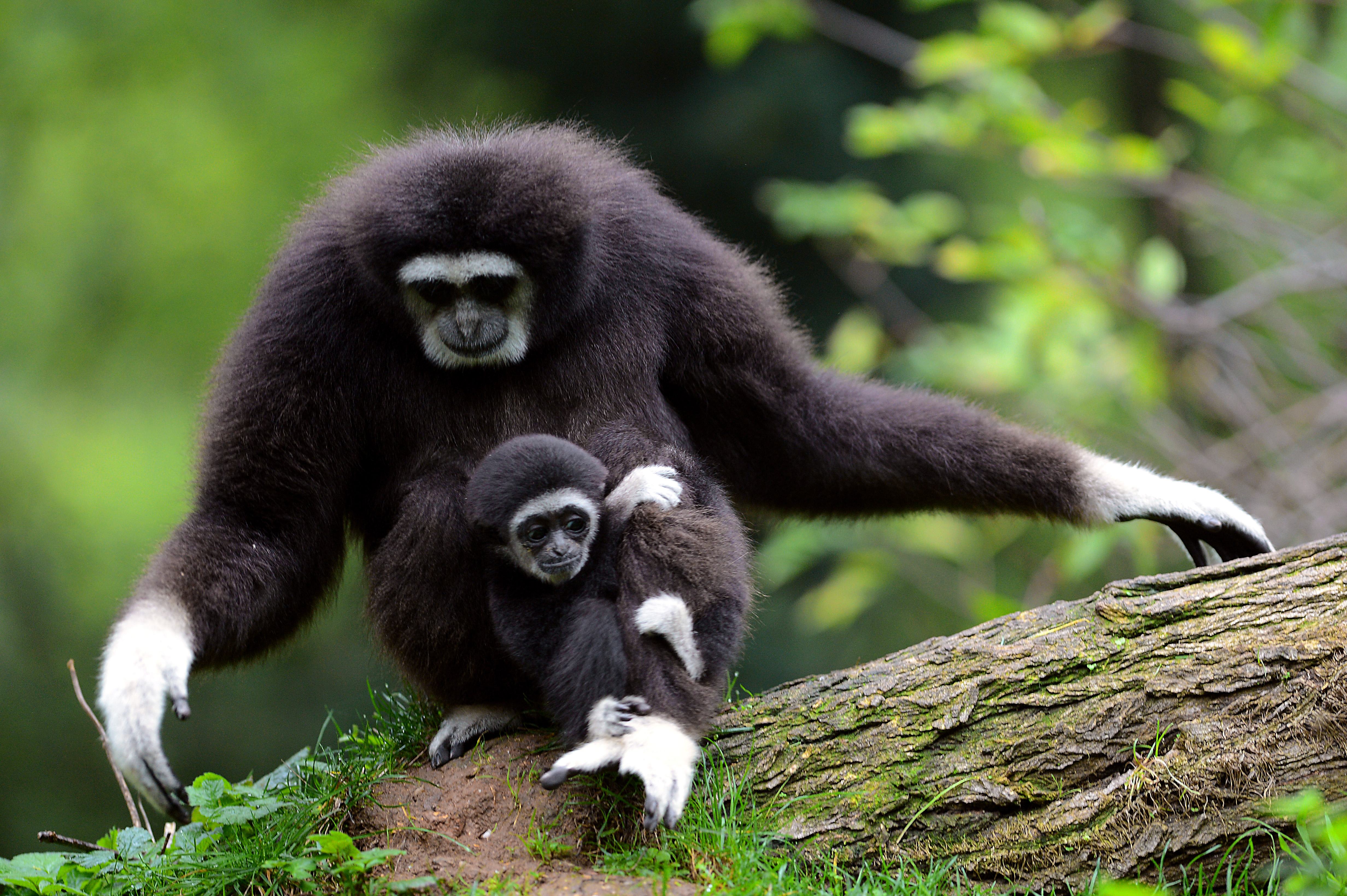 A baby Gibbon and its mother at the Doue La-Fontaine zoo in France on October 26, 2012.