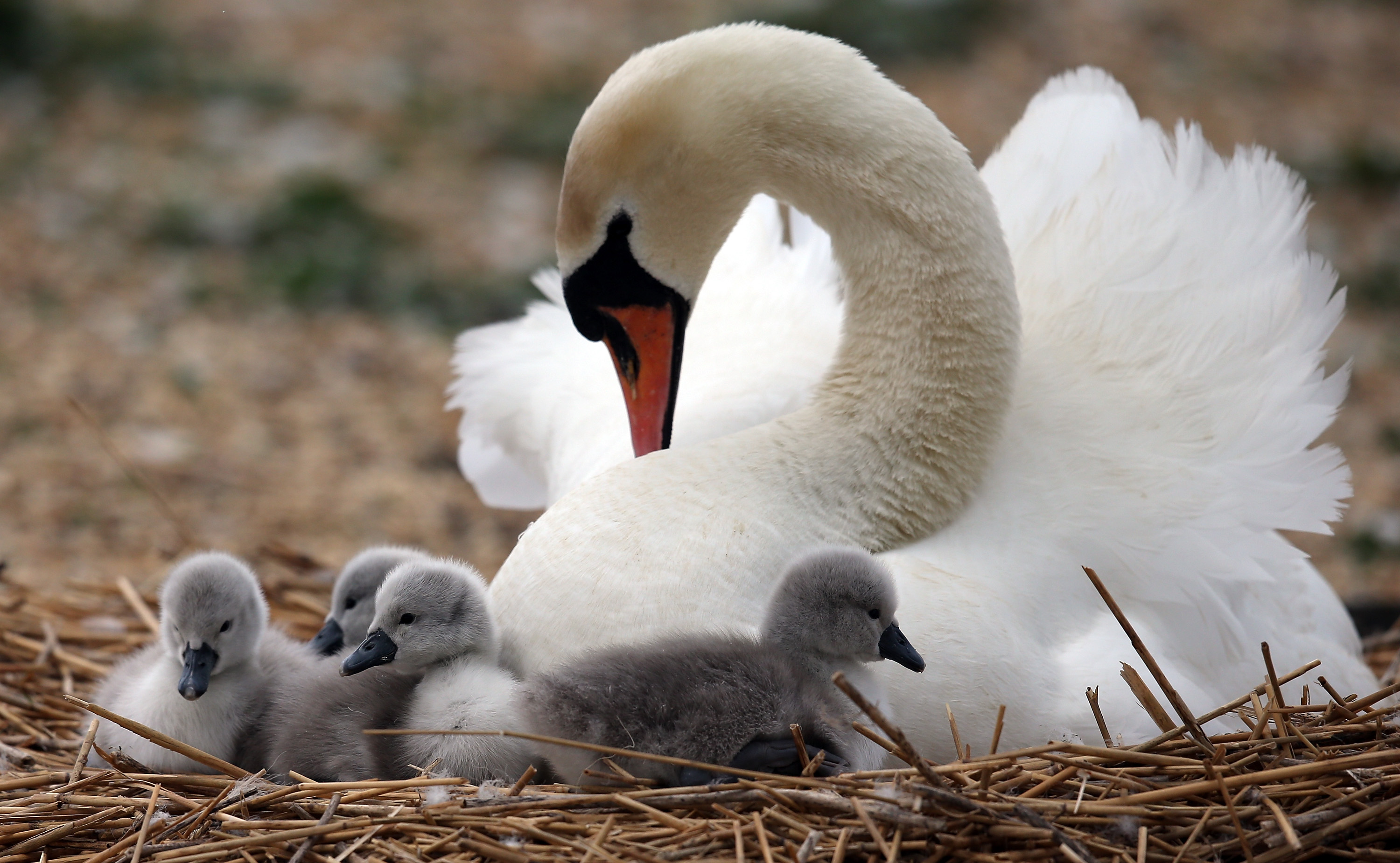 Recently hatched cygnets sit with their mother in a nest at Abbotsbury Swannery on May 23, 2013 near Weymouth, England.