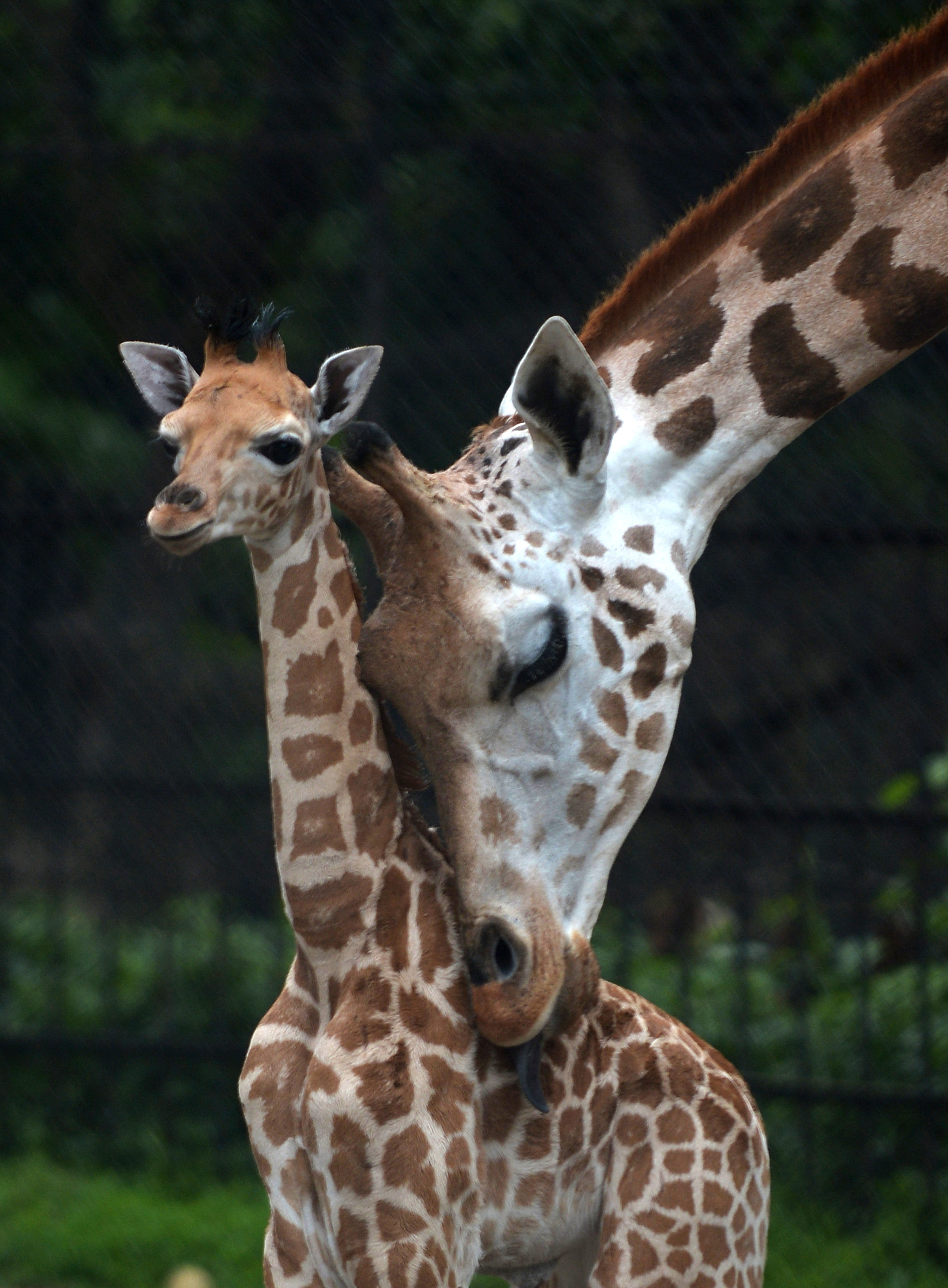 A mother giraffe licks her 20-day old calf at the Alipore Zoological Garden in Kolkata, India on June 10, 2013.