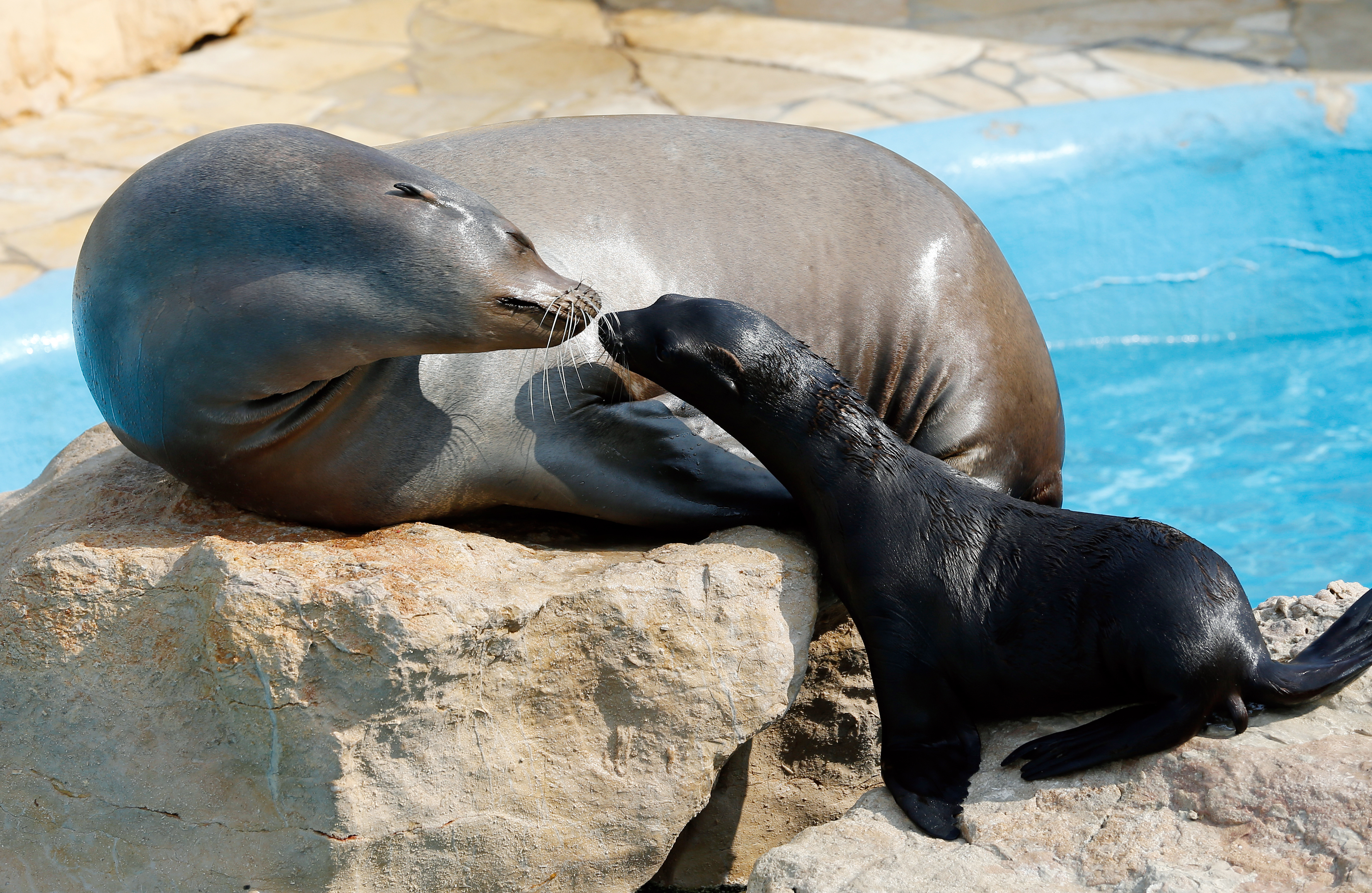 A newborn sea lion and its mother are seen at Marineland in Nice, France on July 17, 2013.