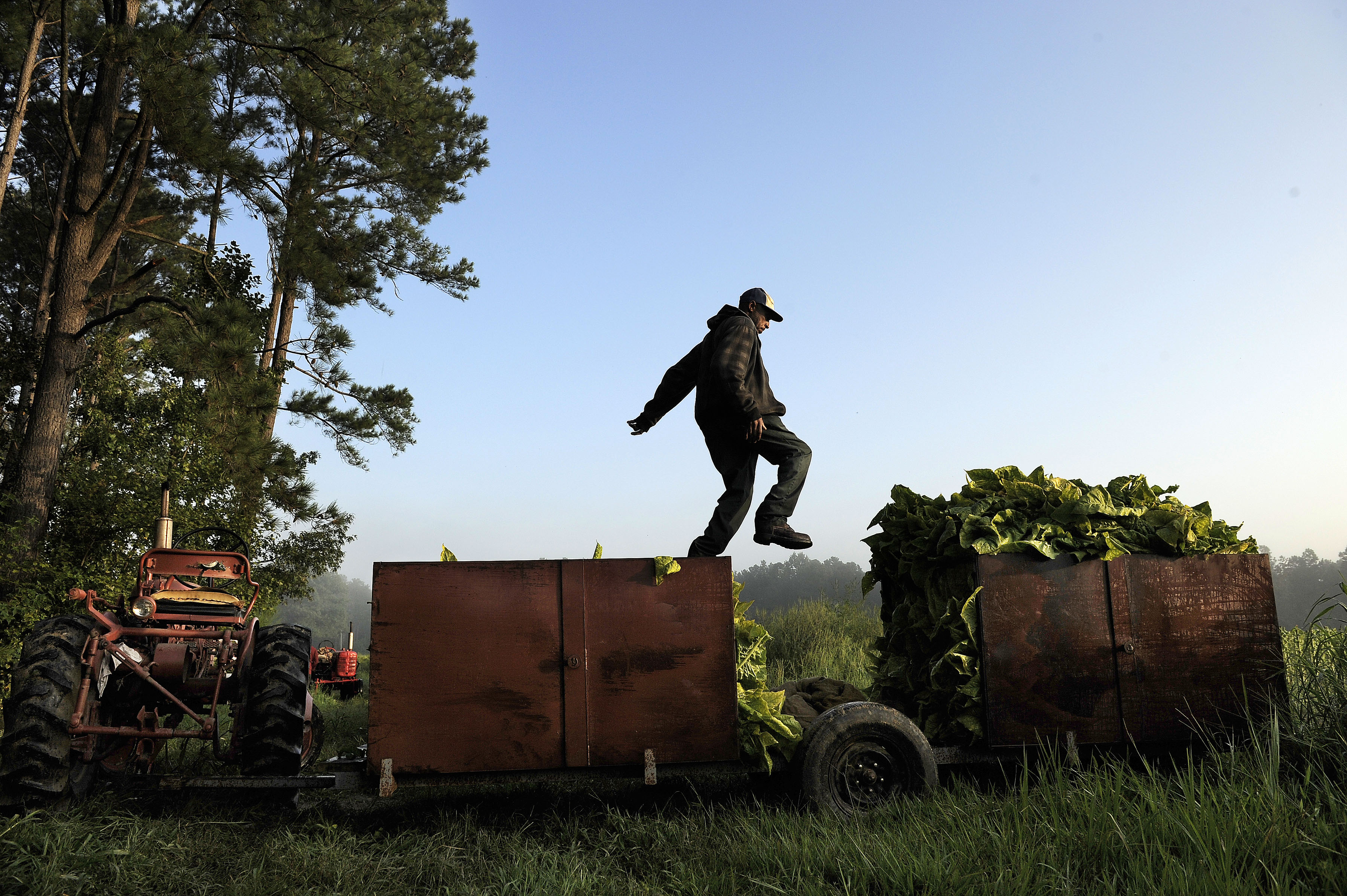 Tobacco farmer in Warfield, Va., on Aug. 30, 2013