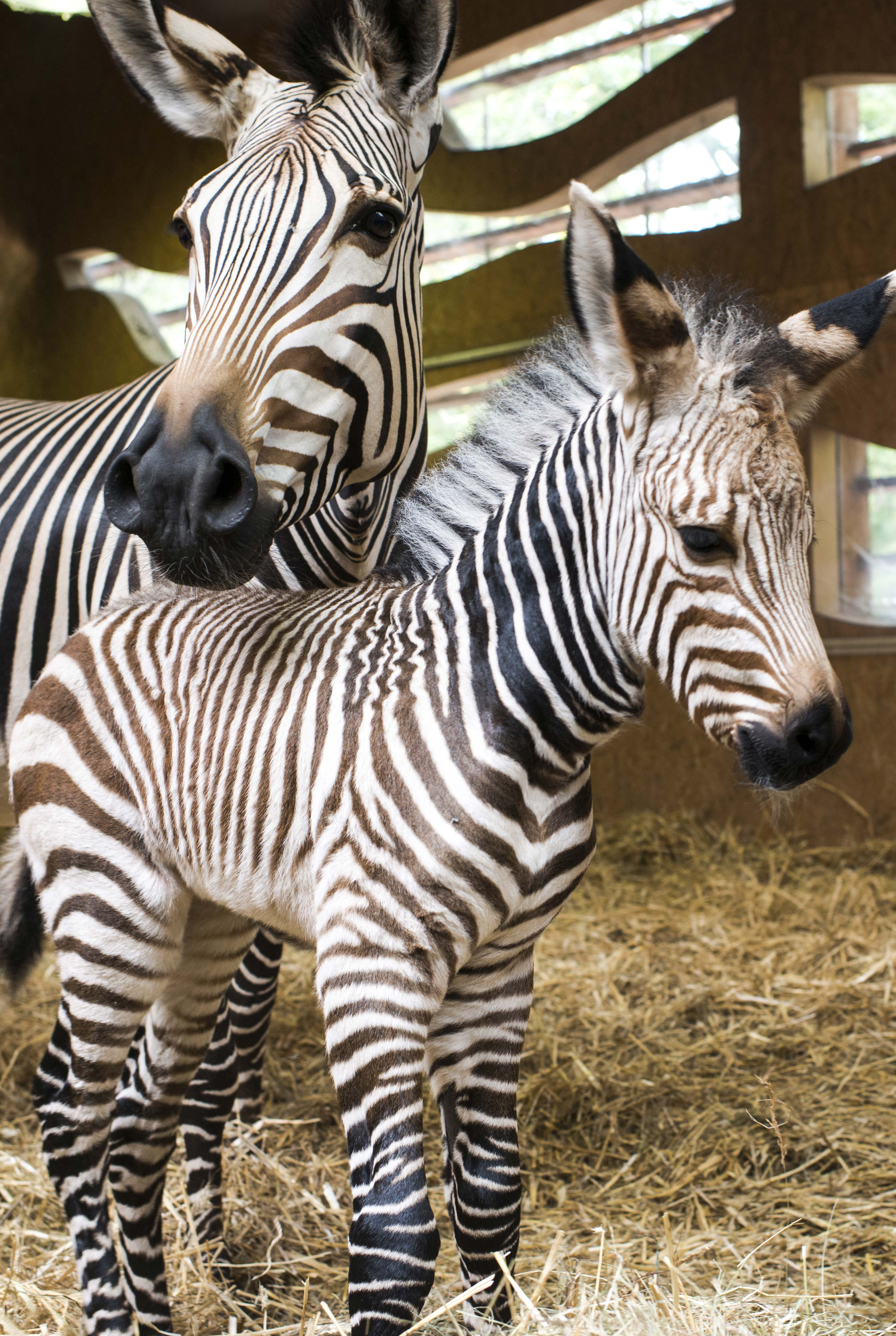 A newborn Hartmann's Mountain zebra with his mother in the Zoo of the Parc de la Tete d'Or in Lyon. France on October 31, 2013.