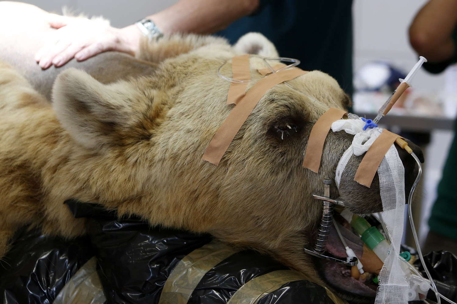 A zoo staff member touches Mango, a 19-year-old Syrian brown bear, during preparations for his surgery at the Ramat Gan Safari near Tel Aviv on May 7, 2014.