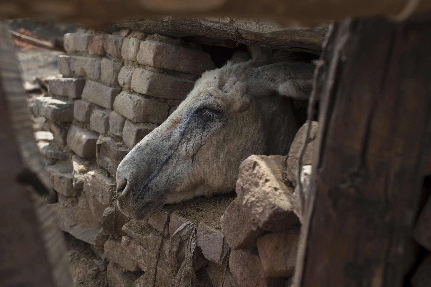 May 5, 2014. Tears of coal dust run down a donkey's face as it looks out of its shelter at a coal mine in Choa Saidan Shah in Punjab province, Pakistan.