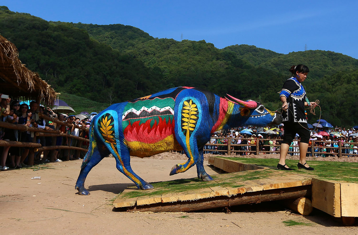 A woman leads her painted buffalo onto a stage during a buffalo bodypainting competition in Jiangcheng county, Yunnan province, China, May 18, 2014. Artists from eight countries painted on buffalos to compete for a 100,000 yuan ($16,042) prize reward during the competition on Sunday, according to local media.