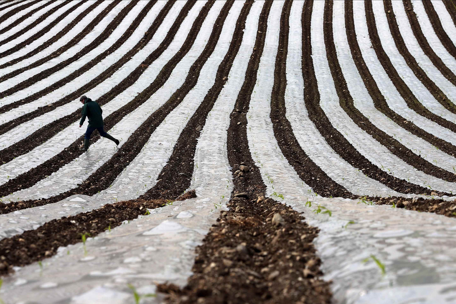 May 19, 2014. A man walks through a field of maize, planted under a film of biodegradable plastic which raises the soil temperature at the start of the season, near the city of Londonderry.
