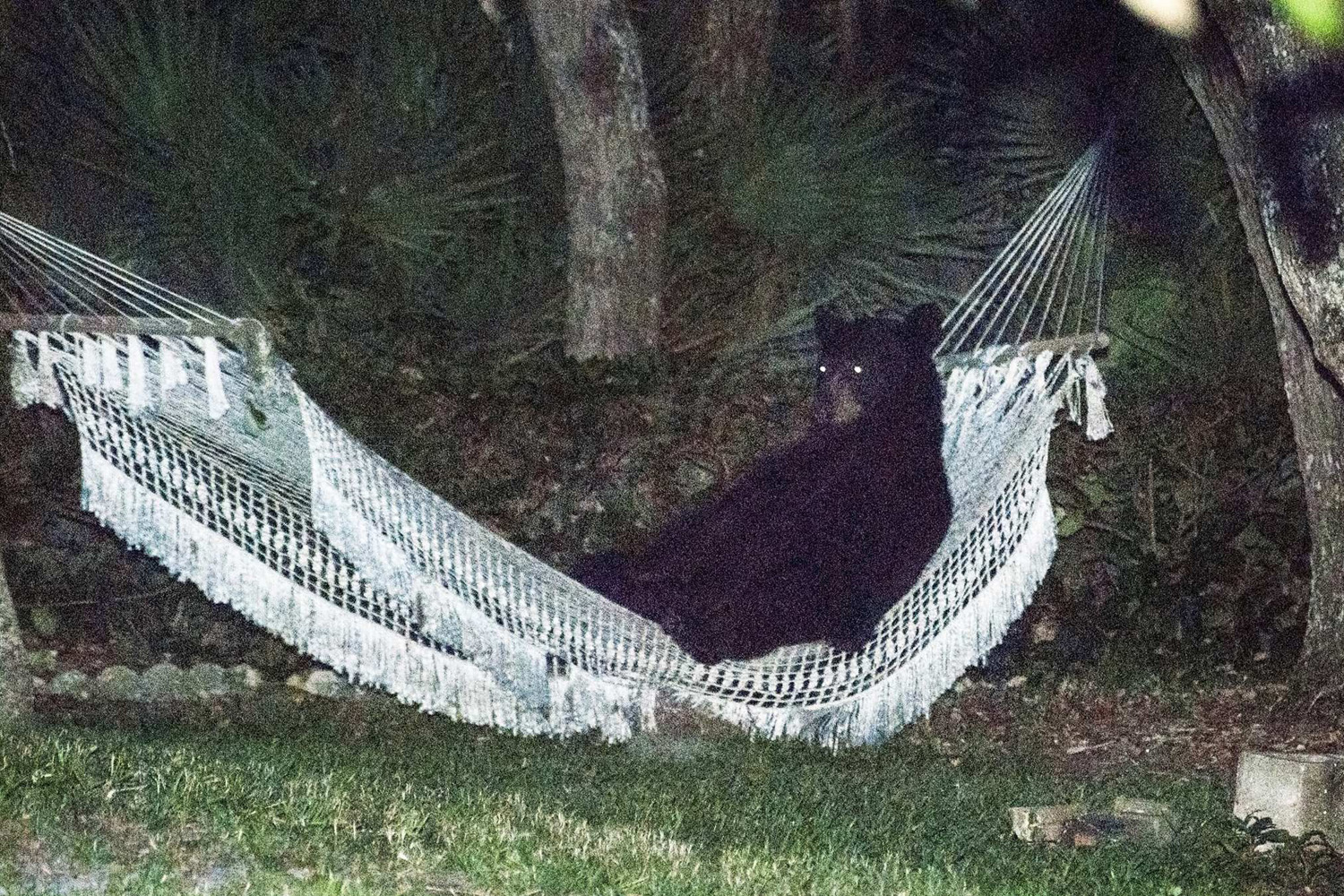 May 30, 2014. A black bear lies on a hammock at a residential back yard in Daytona Beach, Florida.