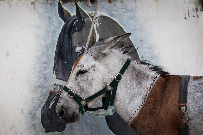 May 10, 2014. Horses and donkeys prepare for weekly races in Saar village west of Manama.
