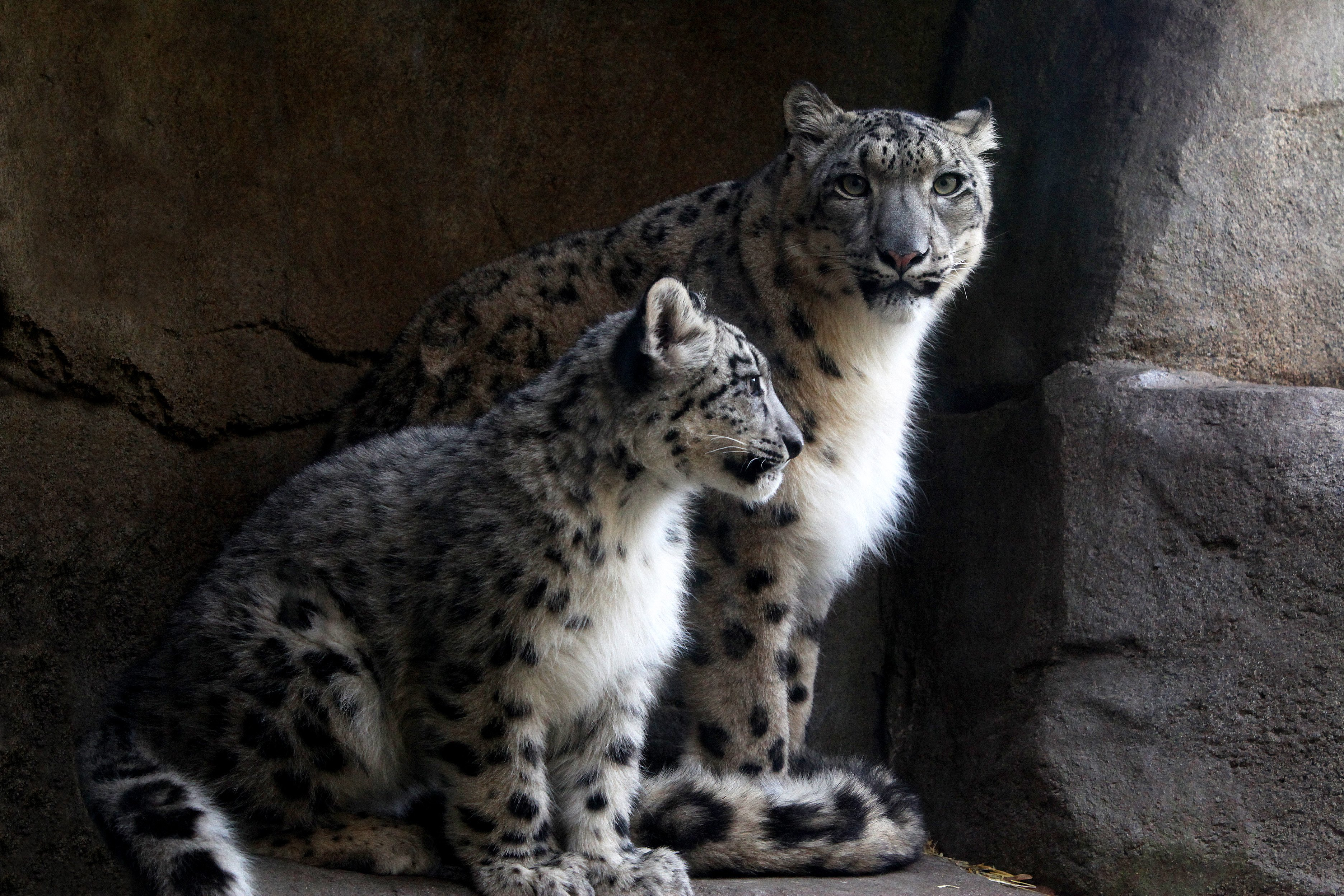 A baby and mother Snow Leopard, at Brookfield Zoo in Brookfield, Illinois on Nov. 14, 2013.