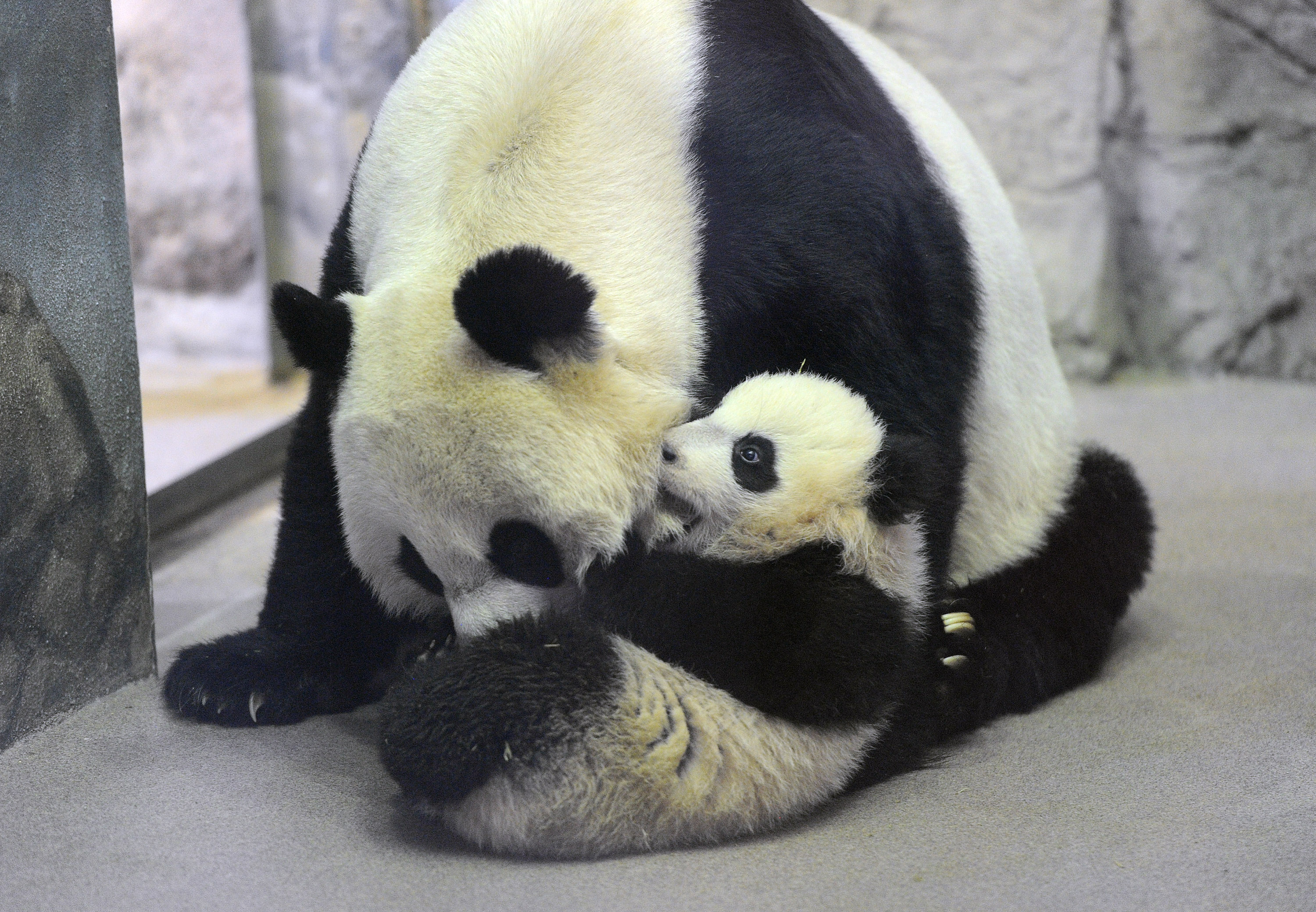 Giant panda cub, Bao Bao, right, interacts with her mother, Mei Xiang, left, at the Smithsonian National Zoological Park on Tuesday January 07, 2014 in Washington, DC.