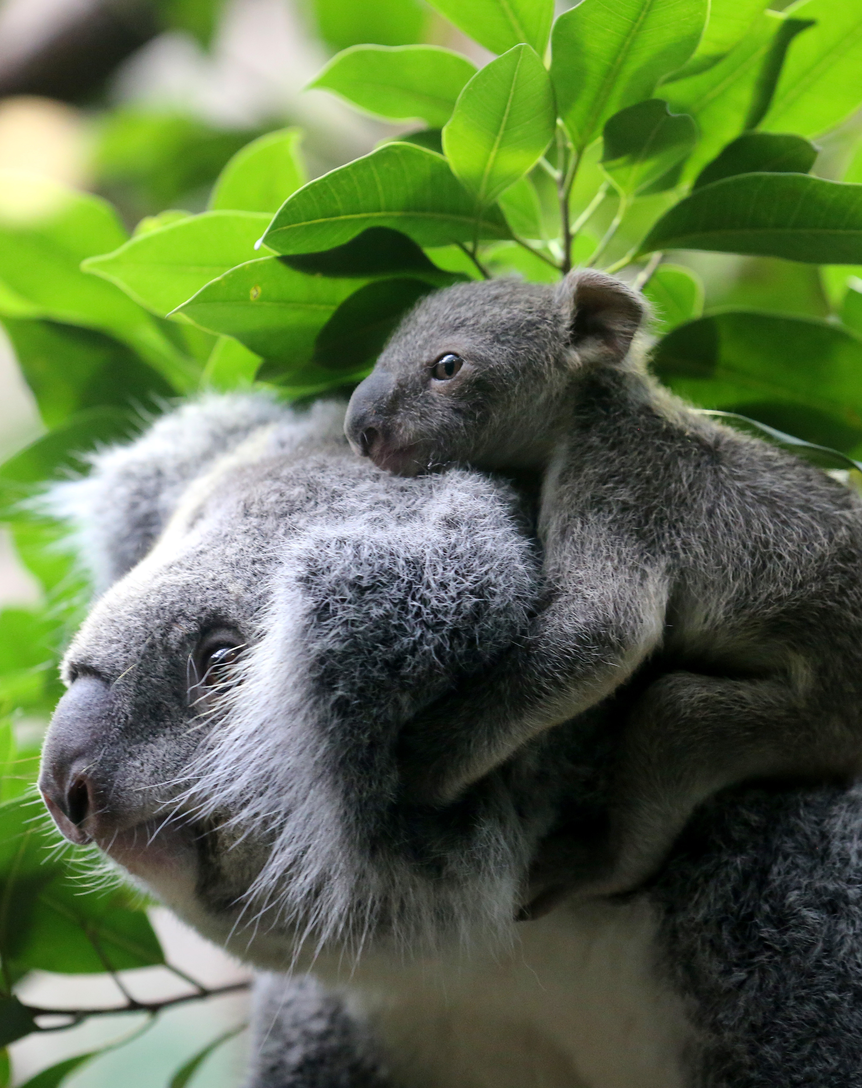 A six month old female baby koala sits on her mother's head on January 22, 2014 at the zoo in Duisburg, Germany.