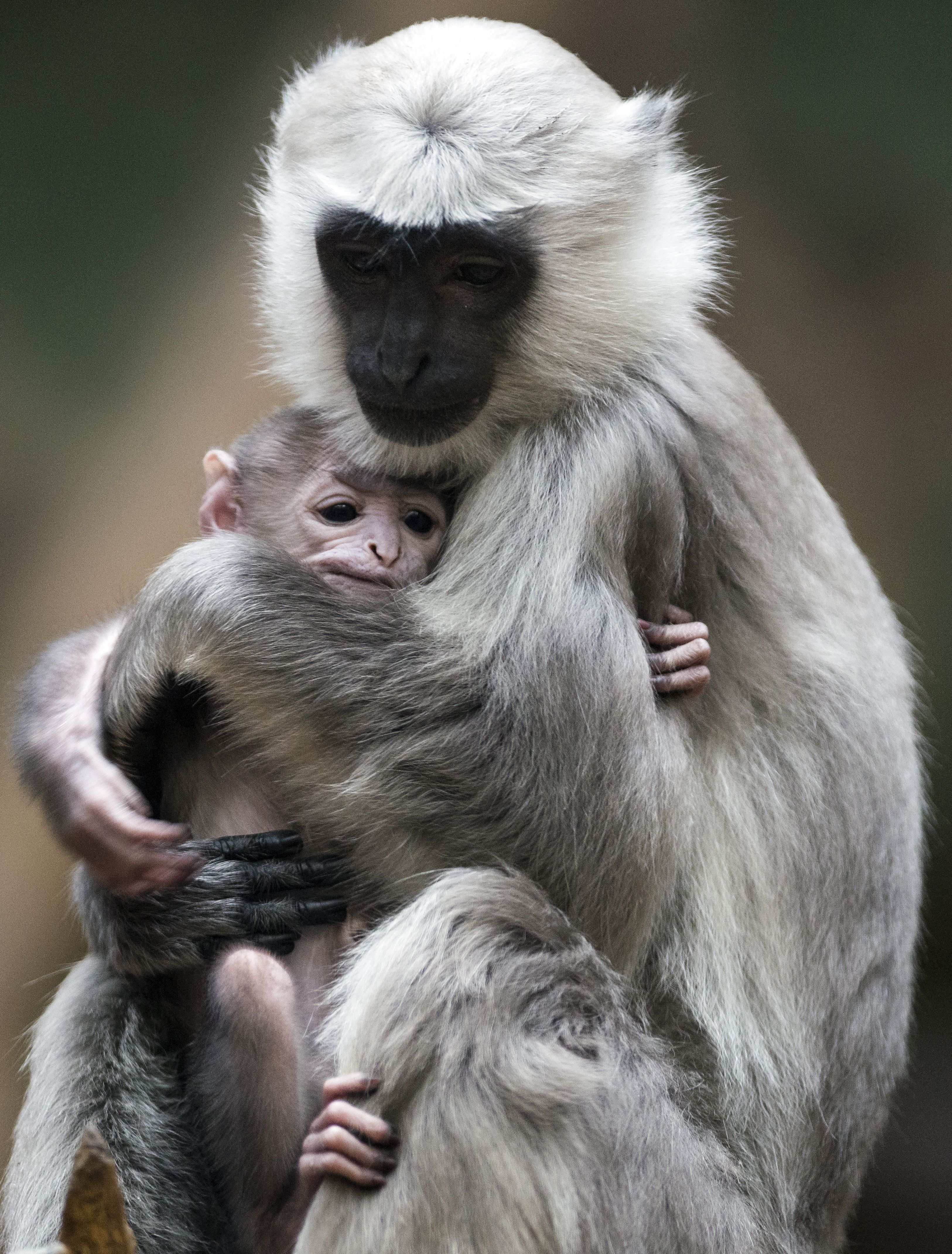 A gray langur mother named Sally holds her baby in its enclosure in Berlin's Zoo on February 21, 2014 in Berlin.