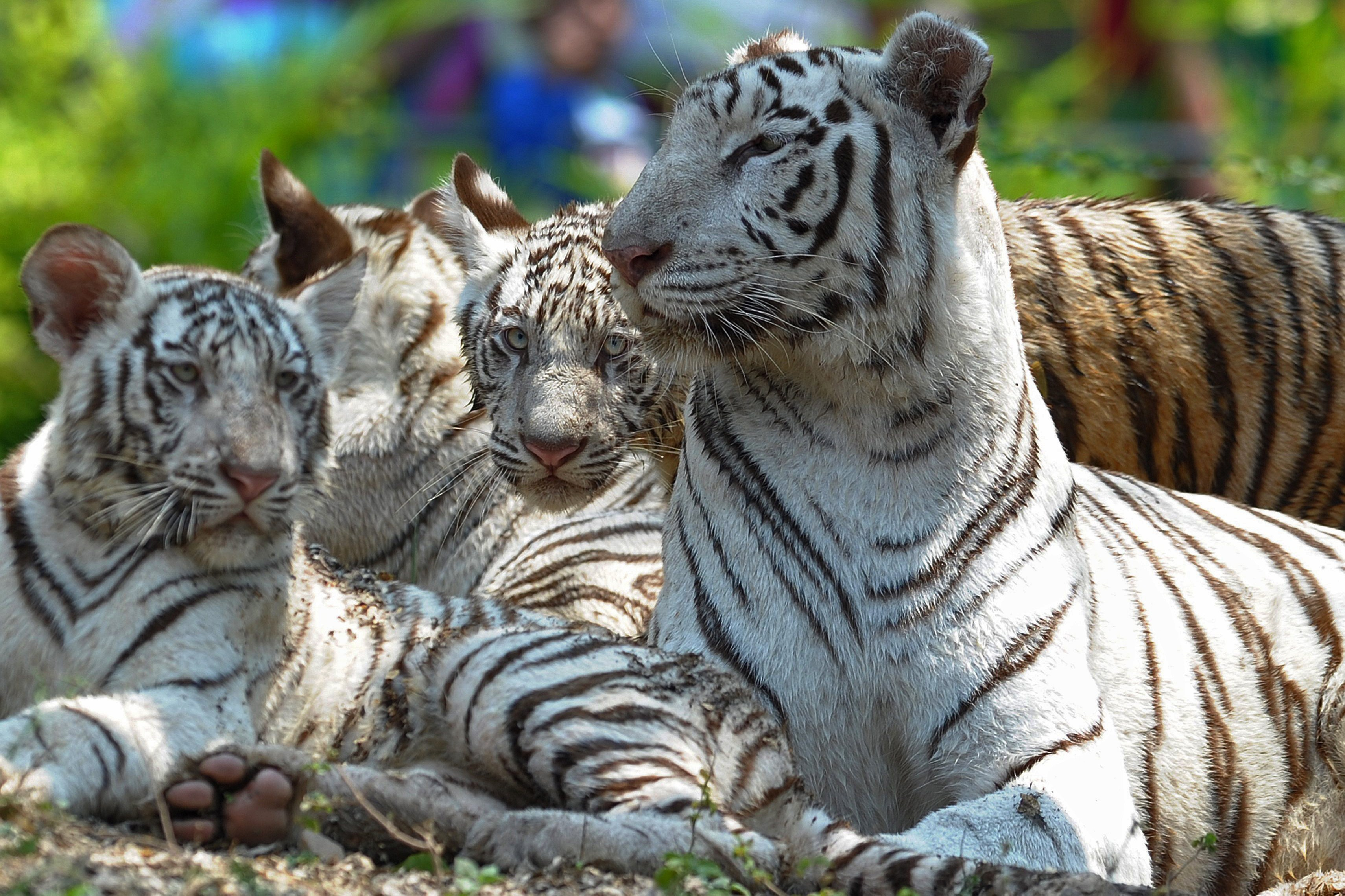 Three six-month old Indian white tiger cubs are pictured with their mother Sameera, right, at their enclosure at the Nehru Zoological Park in Hyderabad, India on March 29, 2014.