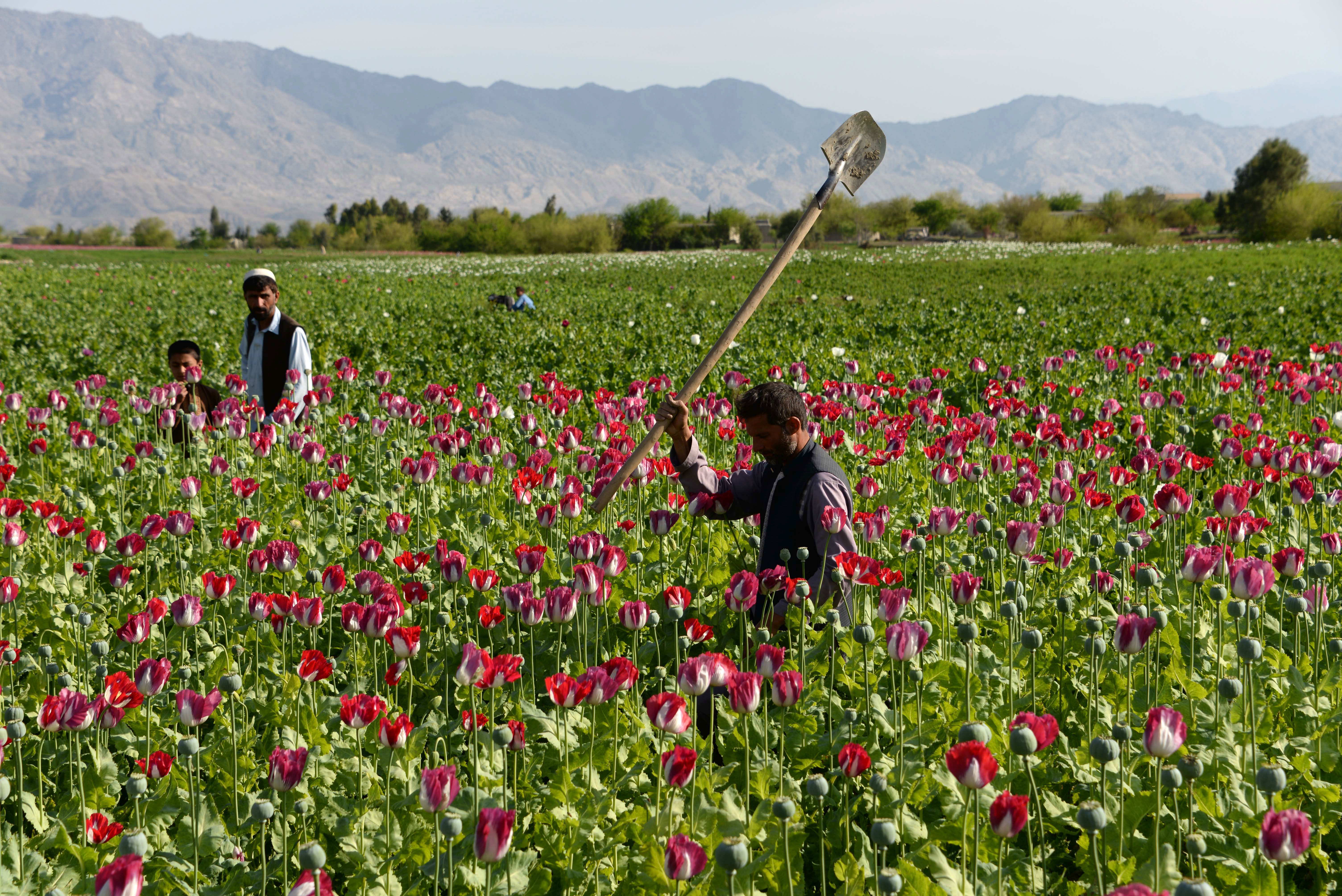 Afghan farmers tend to their poppy fields outside Jalalabad last month.