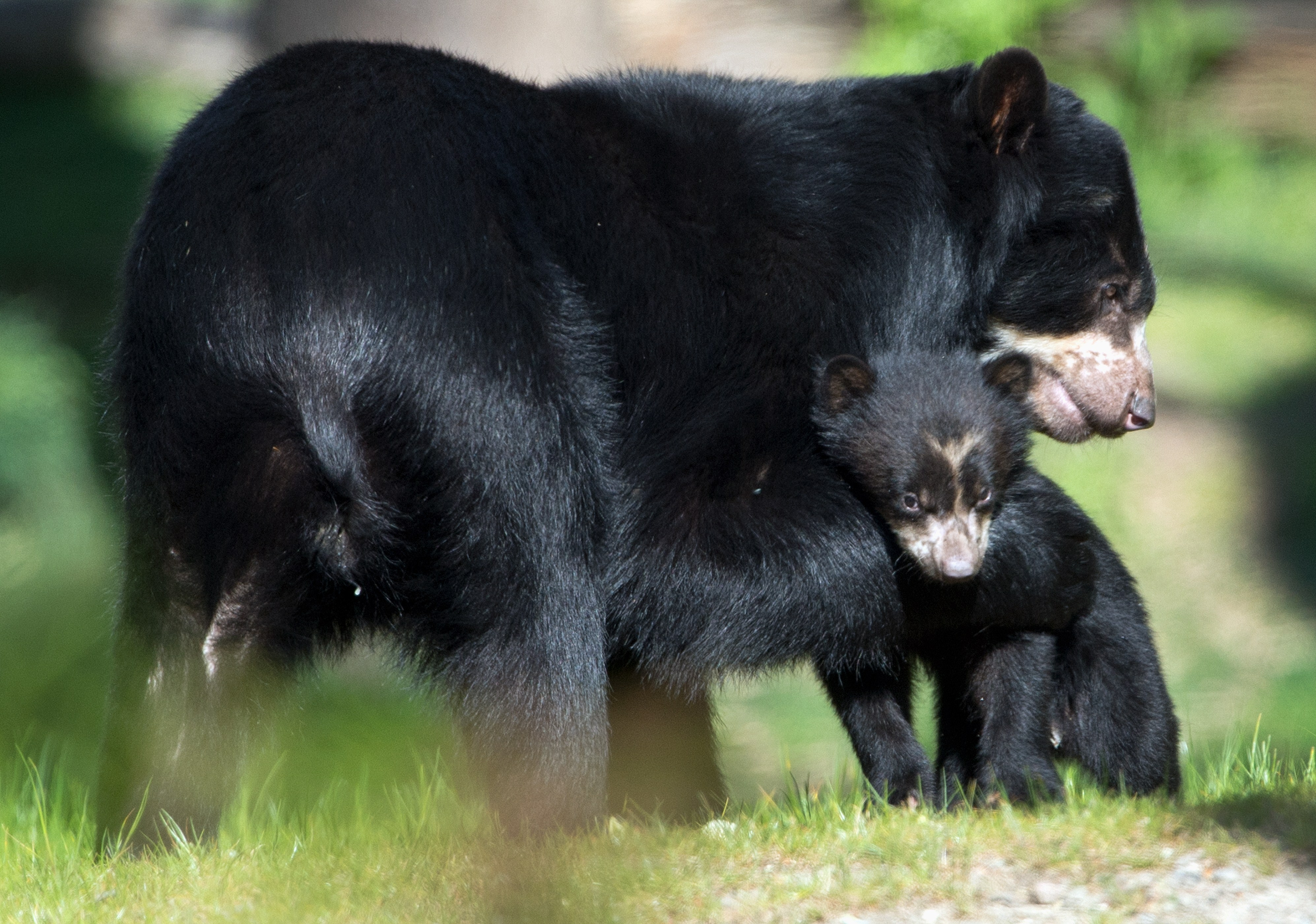 Spectacled bear mother Cashu stands next to one of her babies on April 17, 2014 at the zoo in Frankfurt am Main, Germany.