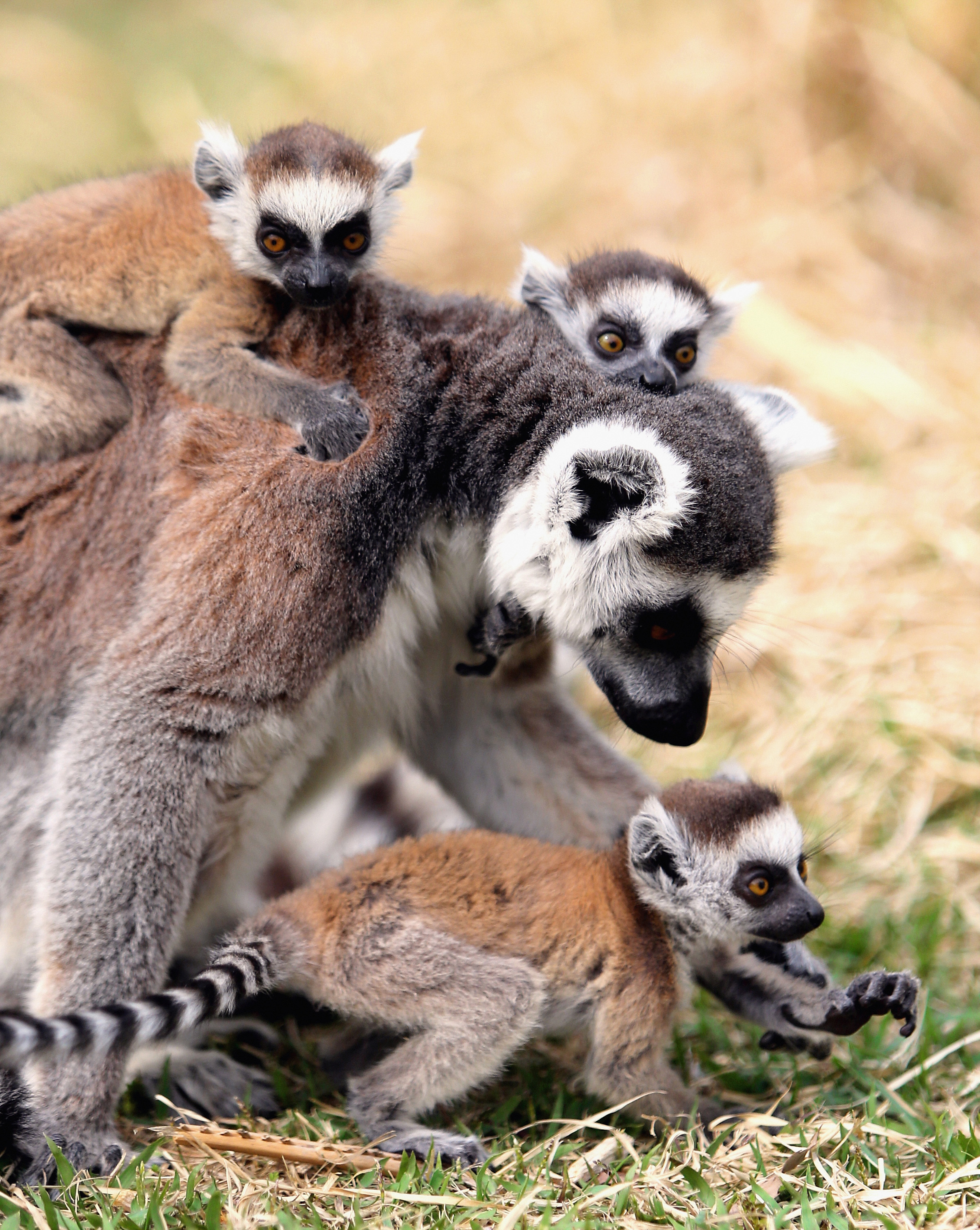 Baby ring-tailed lemurs cling onto their mother at the Japan Monkey Centre on April 19, 2014 in Inuyama, Aichi, Japan.