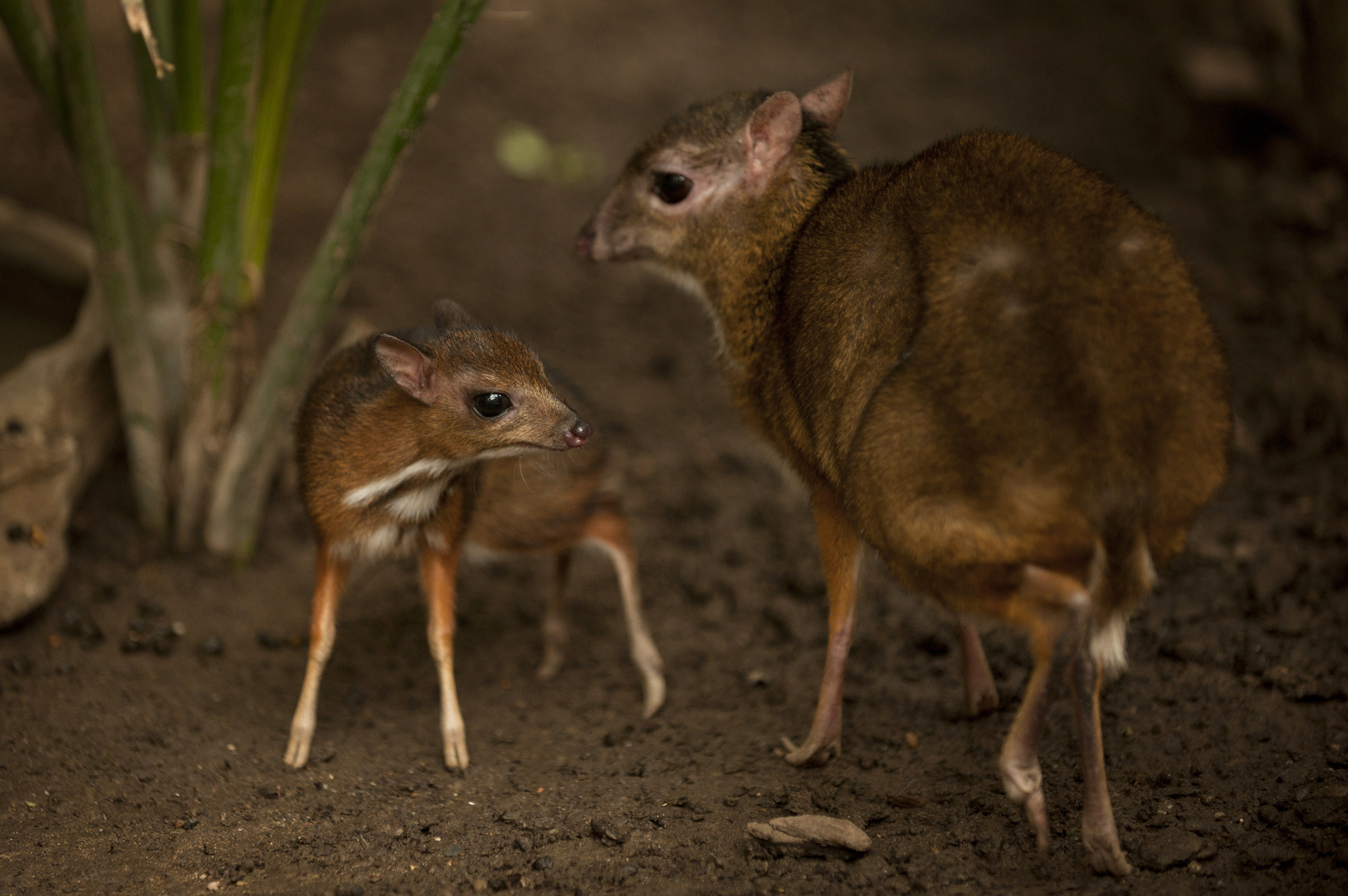 A Java mouse-deer cub, one of the world's smallest hoofed animals, and its mother at the Fuengirola Biopark, near Malaga, Spain on April 25, 2014.