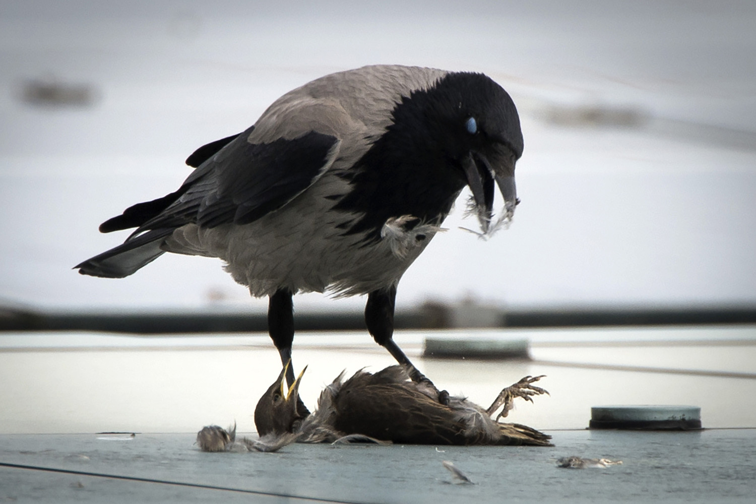 May 6, 2014. A crow eats it's prey sitting on the roof of the Chancellery in Berlin.