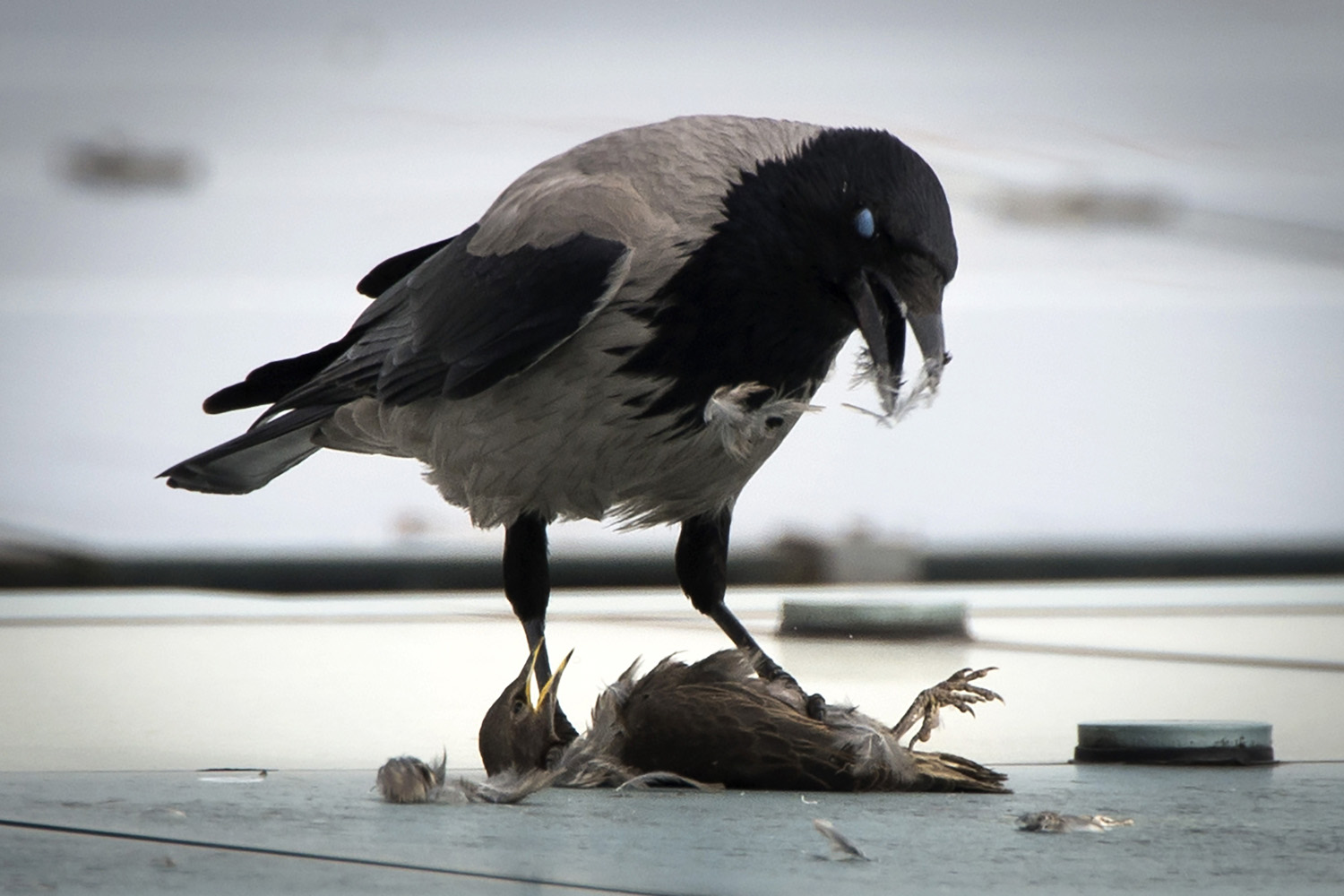 A crow eats its prey sitting on the roof of the Chancellery in Berlin on May 6, 2014.