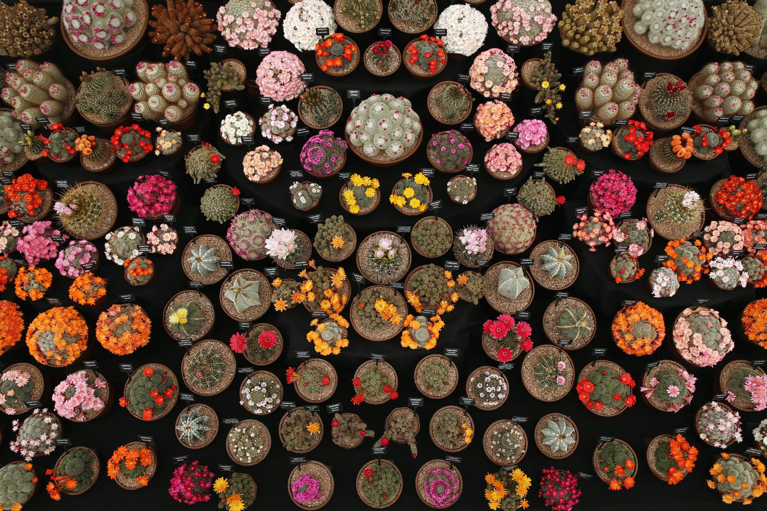 May 19, 2014. Cacti are displayed in the Great Pavilion at the 2014 Chelsea Flower Show at Royal Hospital Chelsea in London, England.