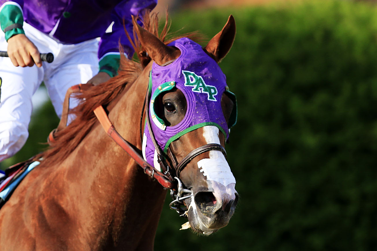 California Chrome during the 139th running of the Preakness Stakes at Pimlico Race Course in Baltimore on May 17, 2014