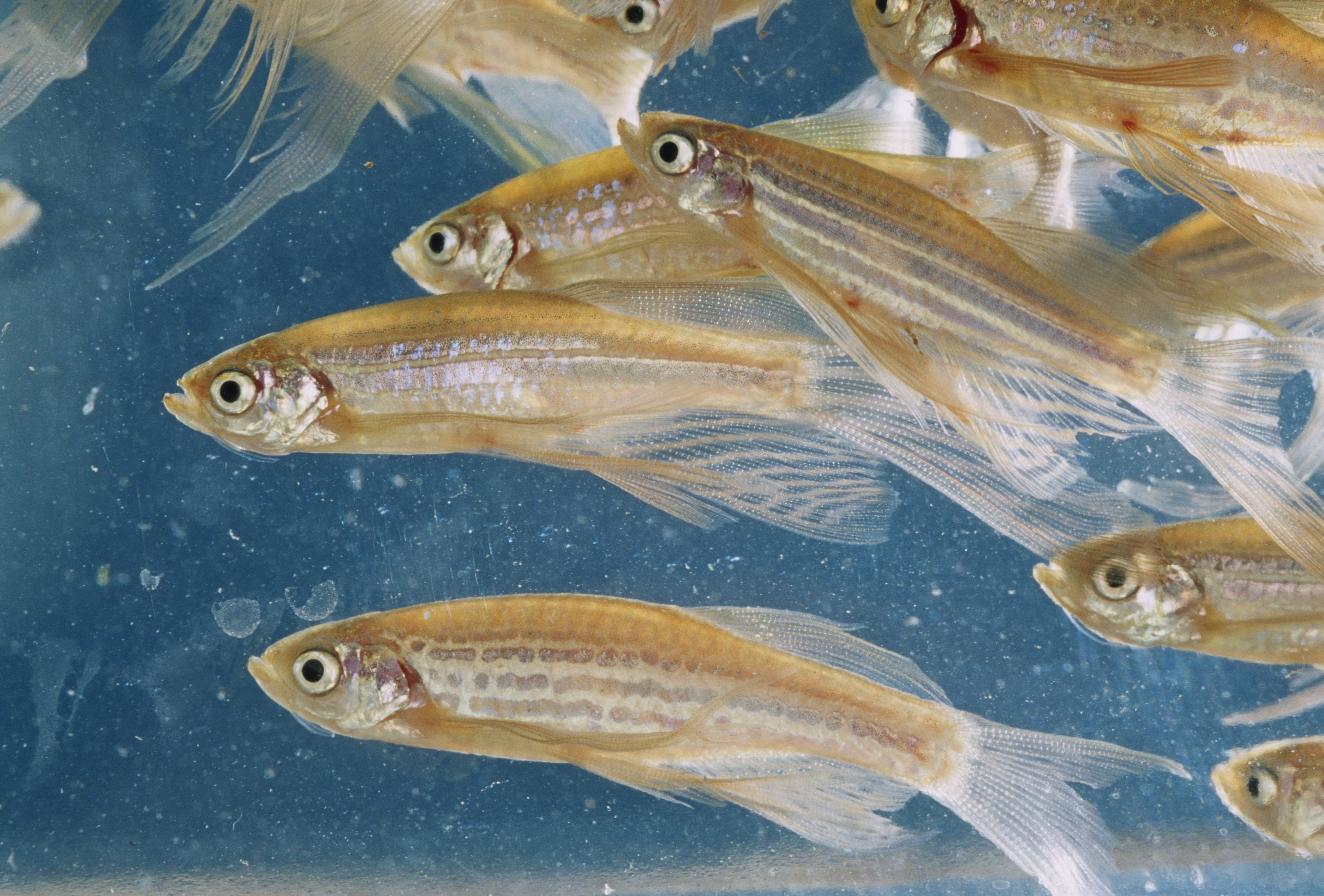 Zebra fish multiply in a water tank at N.I.H.