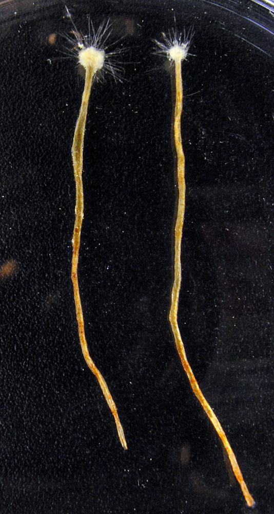 Amoeboid Protist                                                              Spiculosiphon oceana