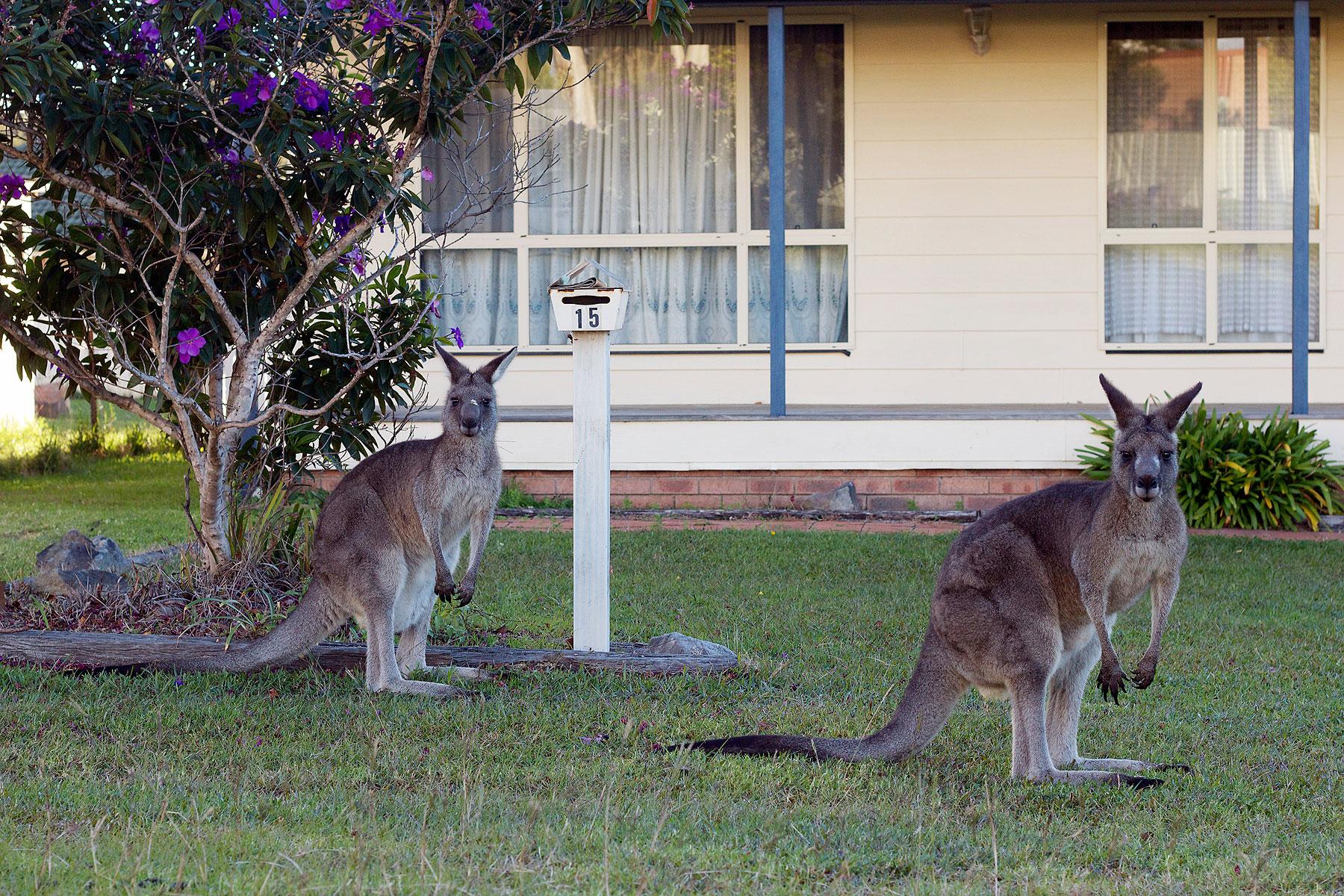 Eastern gray kangaroos graze near Canberra