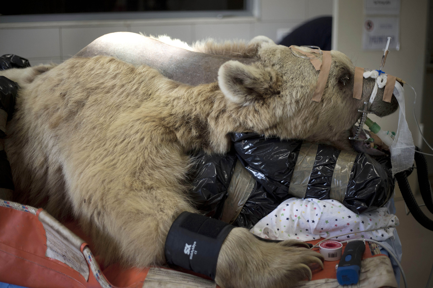 May 7, 2014. Mango, a 19-year-old male Syrian brown bear, rests on a bed as zoo veterinarians and staff prepare him for surgery in the Ramat Gan Zoological Center's animal hospital near Tel Aviv, Israel.