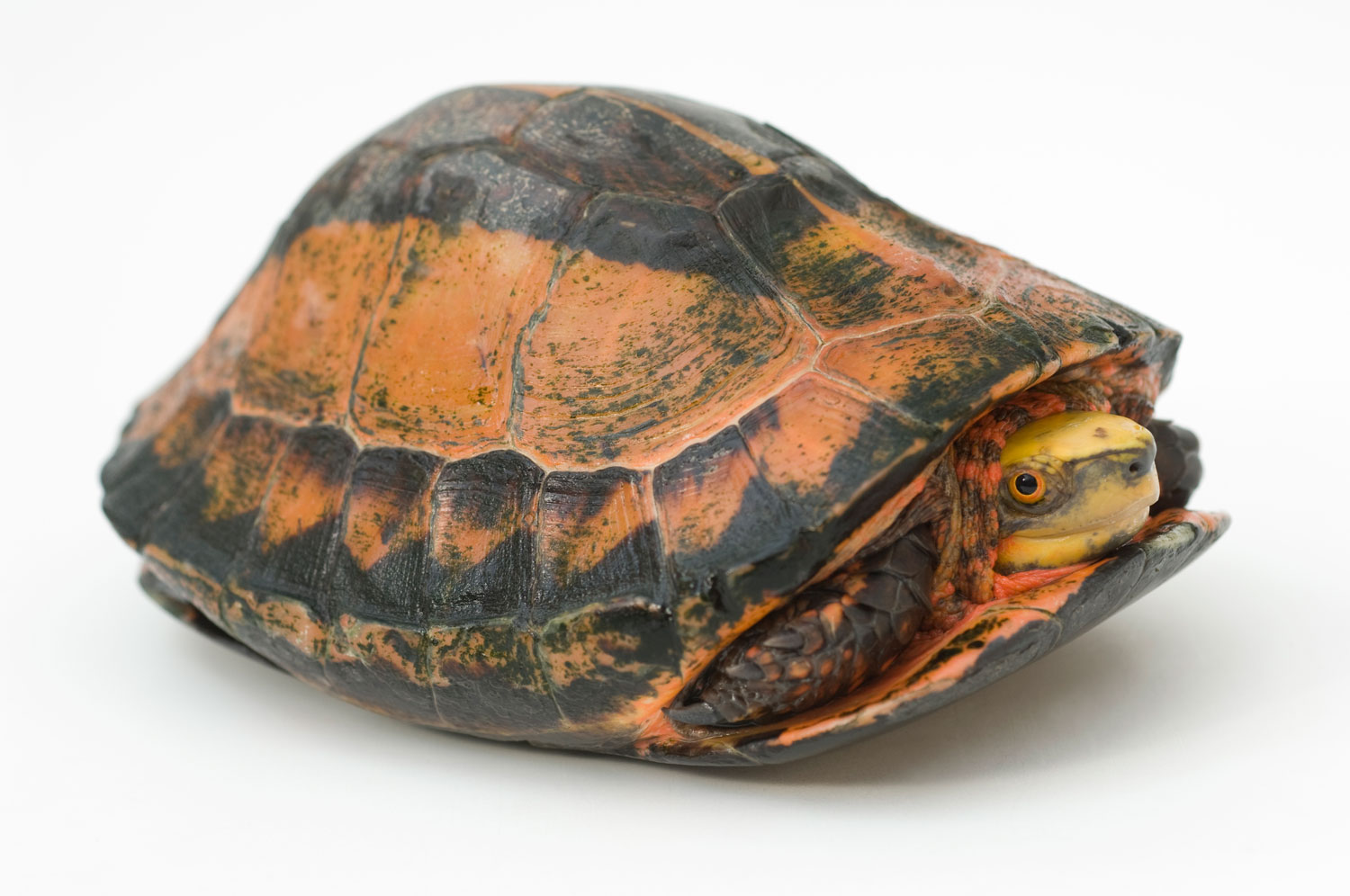The small Indochinese box turtle is found throughout Southeast Asia, but it's hardly abundant. Like a number of its relatives, the box turtle is critically endangered.