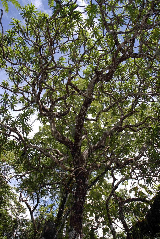 Kaweesak's Dragon Tree                                                              Dracaena kaweesakii