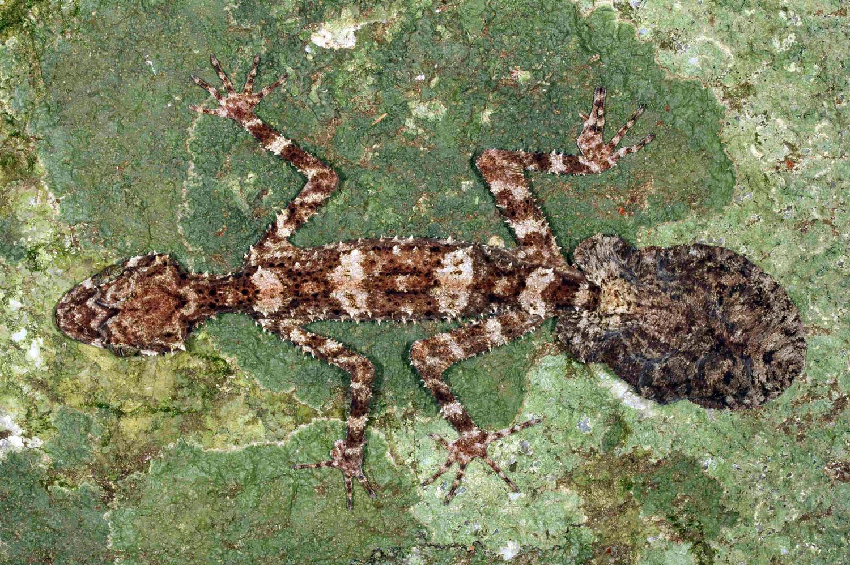 Leaf-tailed Gecko                               Saltuarius eximius