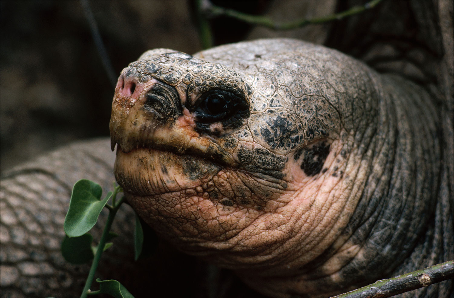 Known as Lonesome George, this Pinta Island Tortoise in the Galapagos was the last known member of his subspecies. Before his death on June 24 last year he was a symbol for conservation efforts.