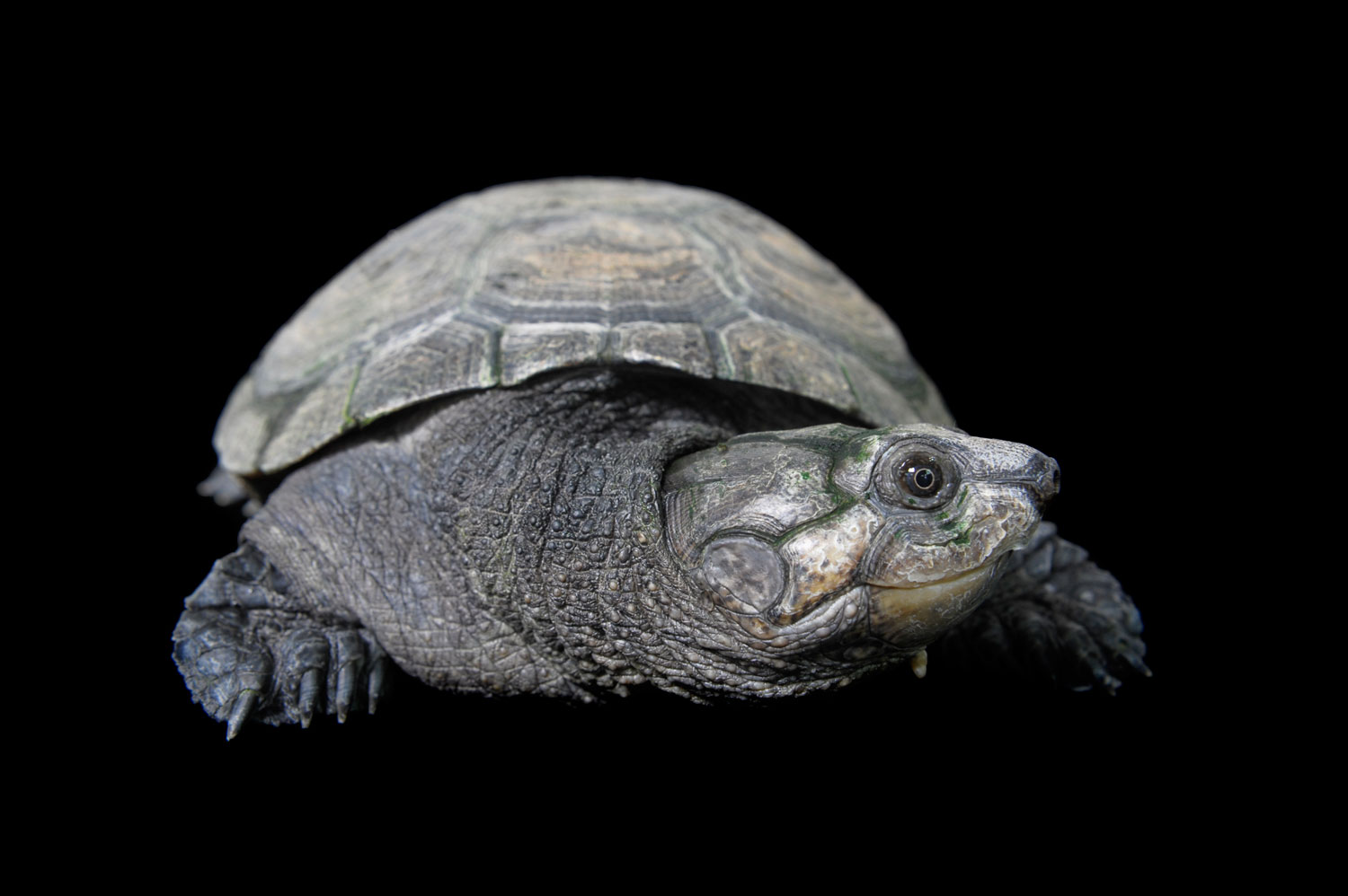 A Madagascar big-headed turtle, Erymnochlys madagascariensis. Madagascar is home to more unique species than any other land mass of its size. But that also puts Madagascar tortoises under greater threat.