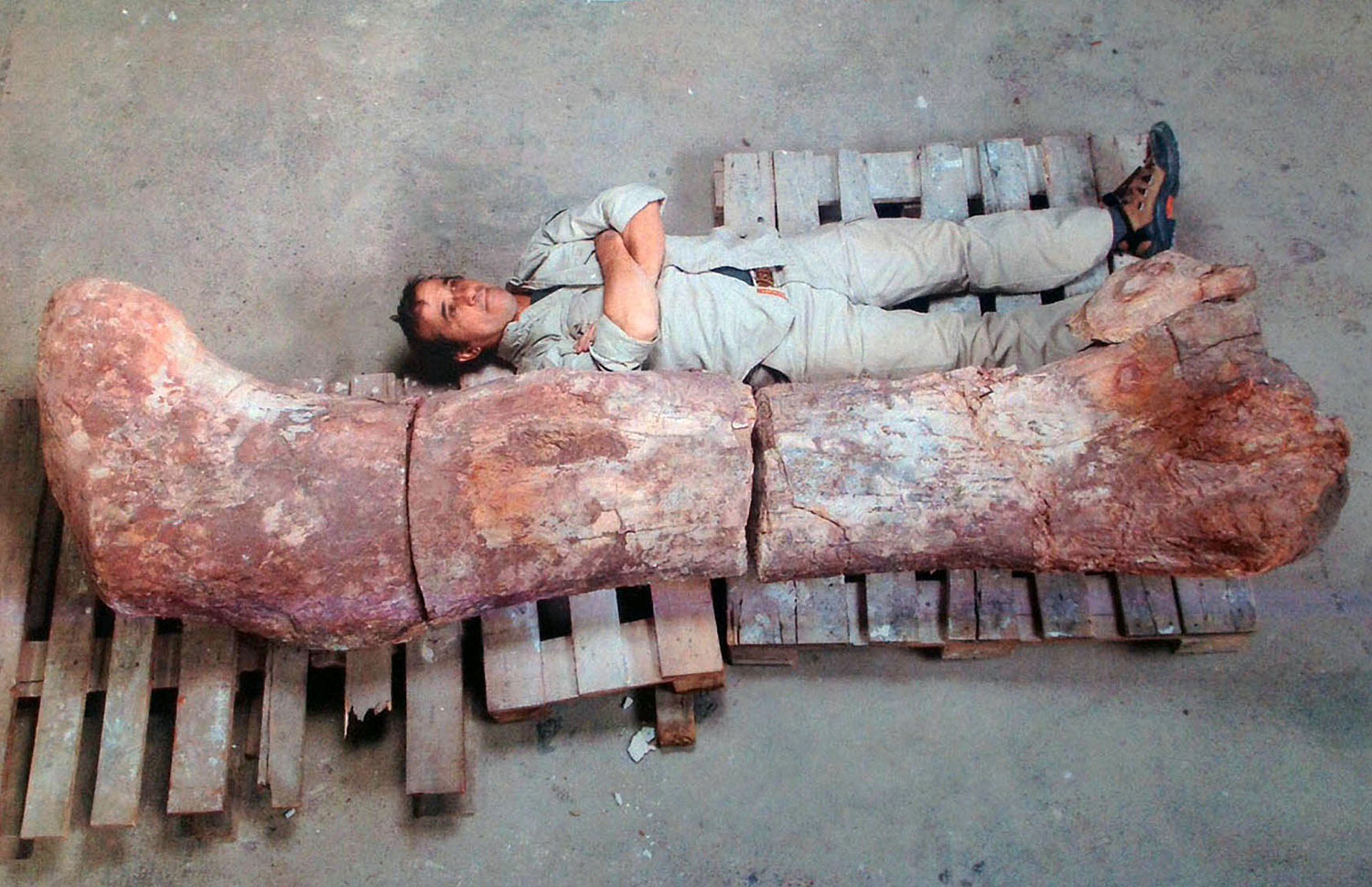 A technician lays next to the femur of a dinosaur -- likely to be the largest ever to roam the earth, in Rawson, Chubut, some 1,300 kilometers (800 miles) south of Buenos Aires, May 16, 2014.