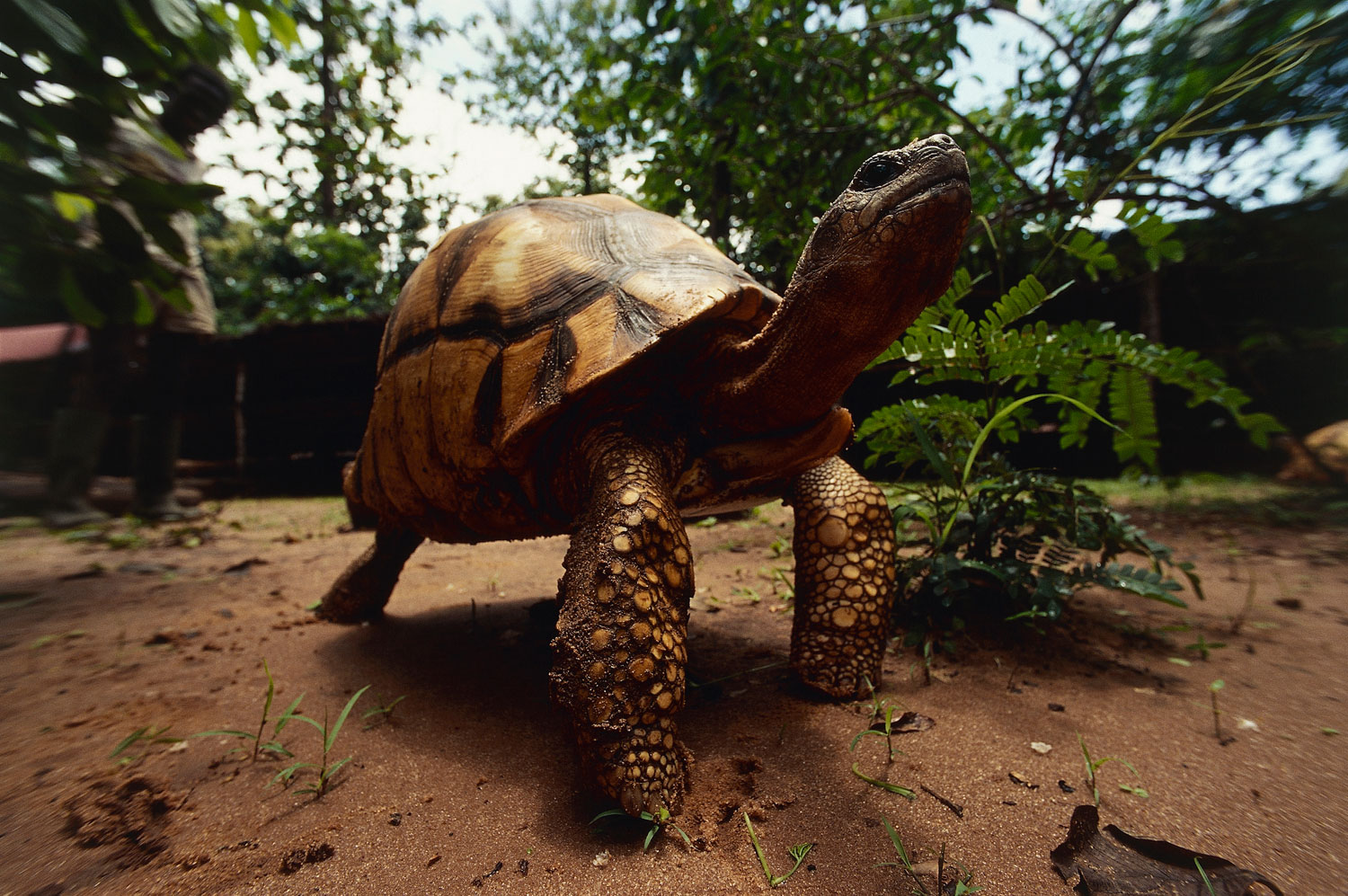 The Plowshare Angonoka tortoise is found in the forests of Madagascar, where it is under heavy pressure from habitat destruction.
