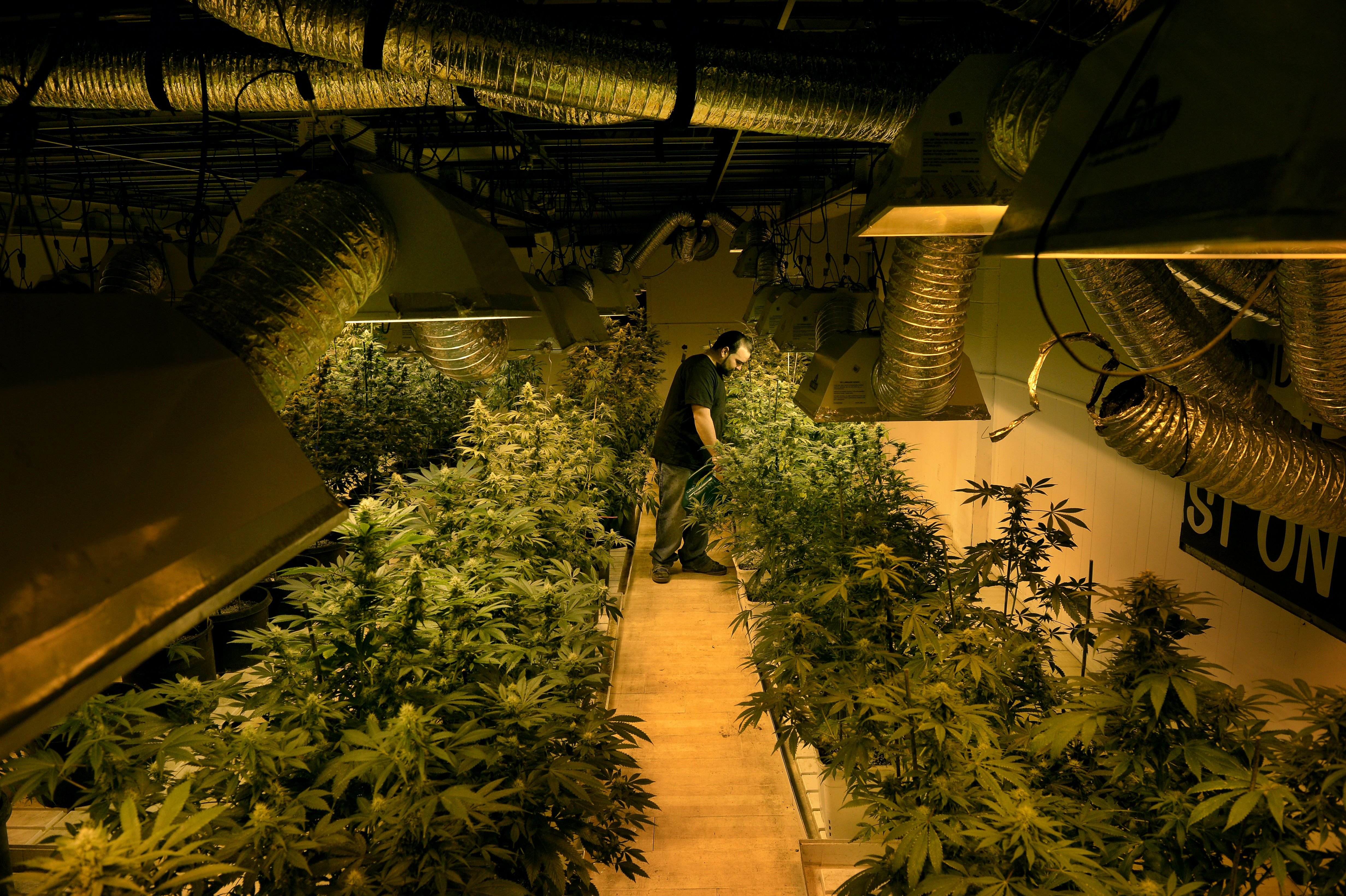 Grower Joe Rey feeds marijuana plants a combination of nutrients and molasses in a flower room at 3-D Denver Discreet Dispensary in Denver on Dec. 04, 2013.