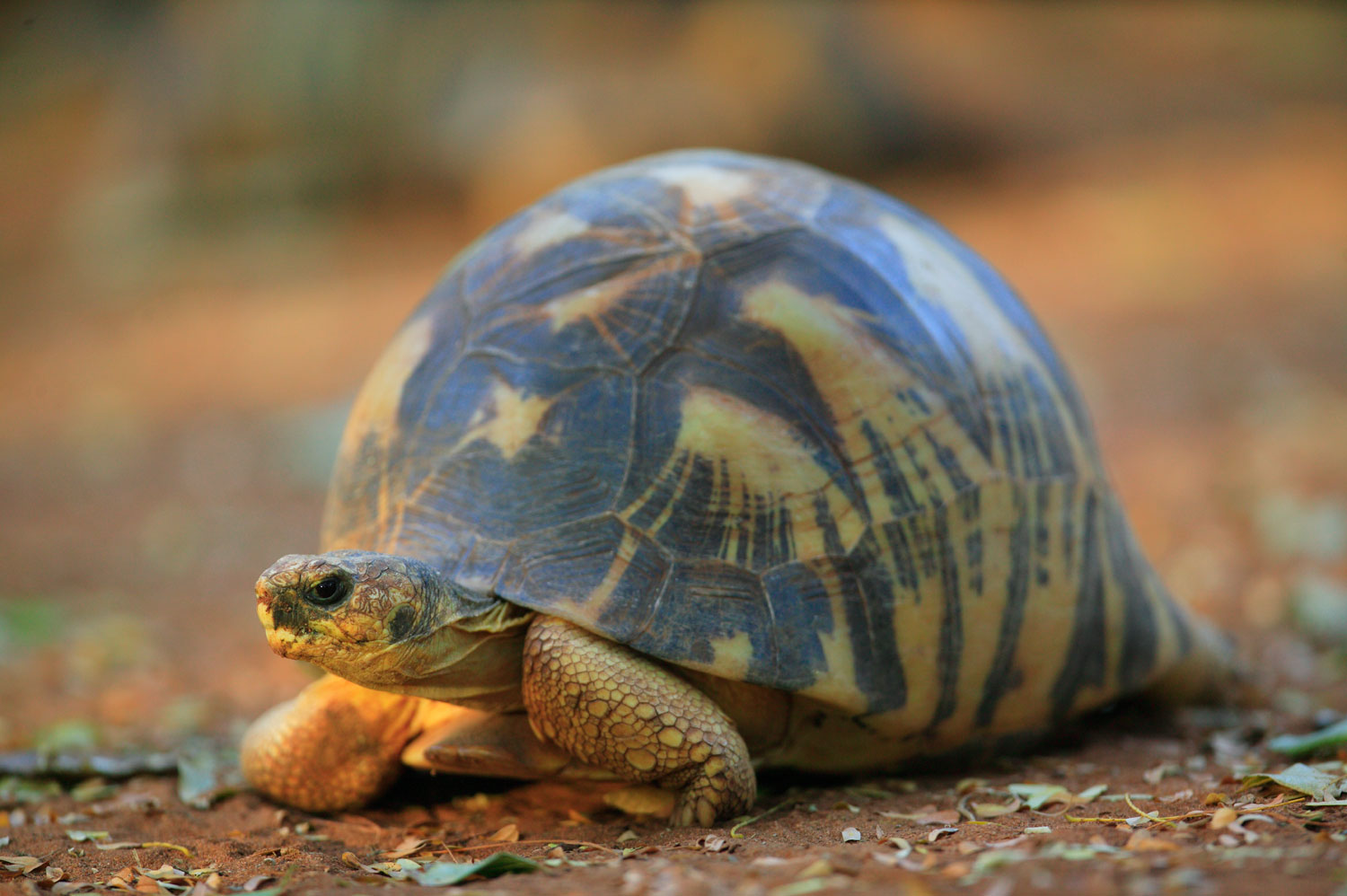 The radiated tortoise of Madagascar is so named for the pattern on its shell. They are now critically endangered.