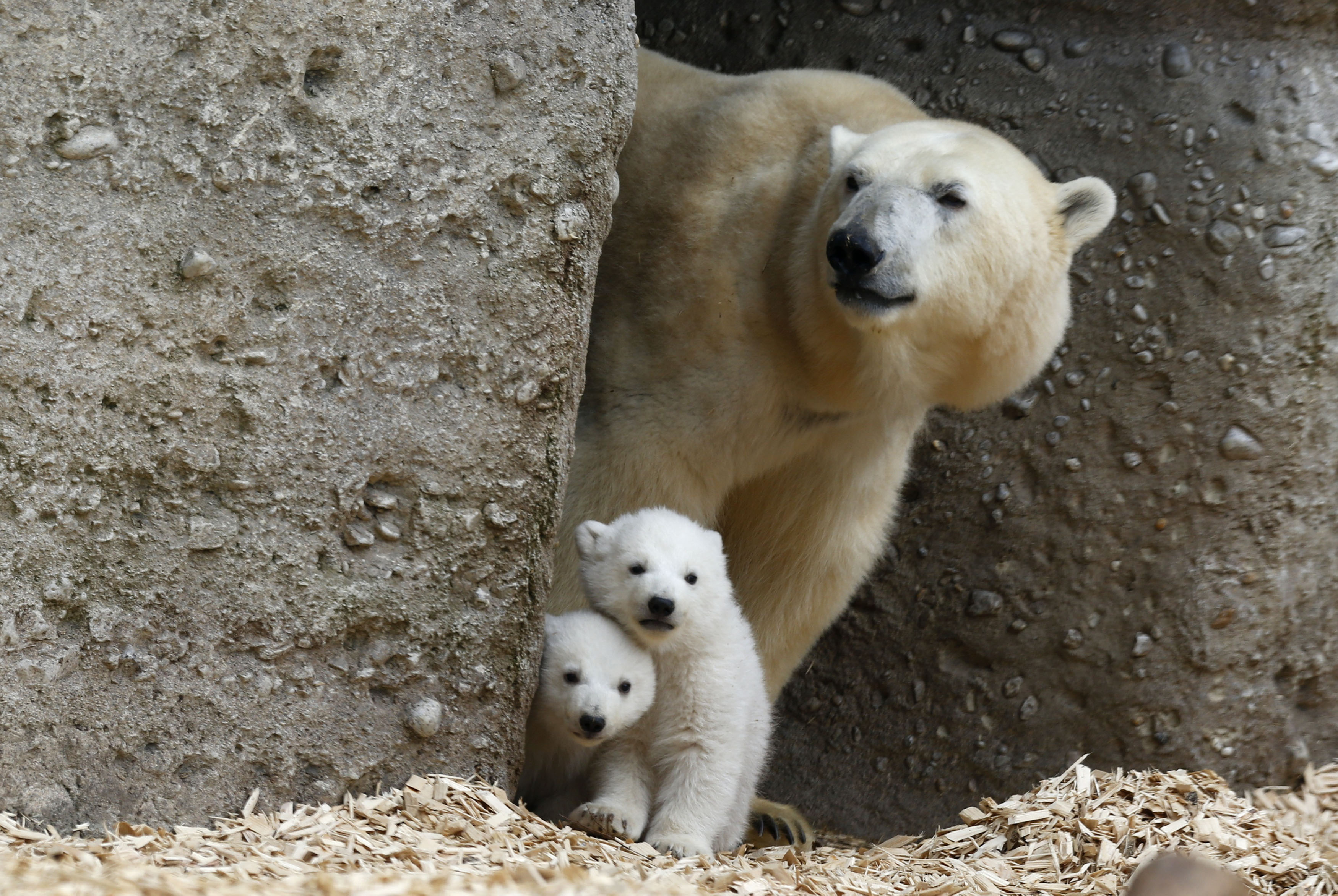 Twin polar bear cubs stand with their mother Giovanna in their enclosure at Tierpark Hellabrunn in Munich, March 19, 2014.