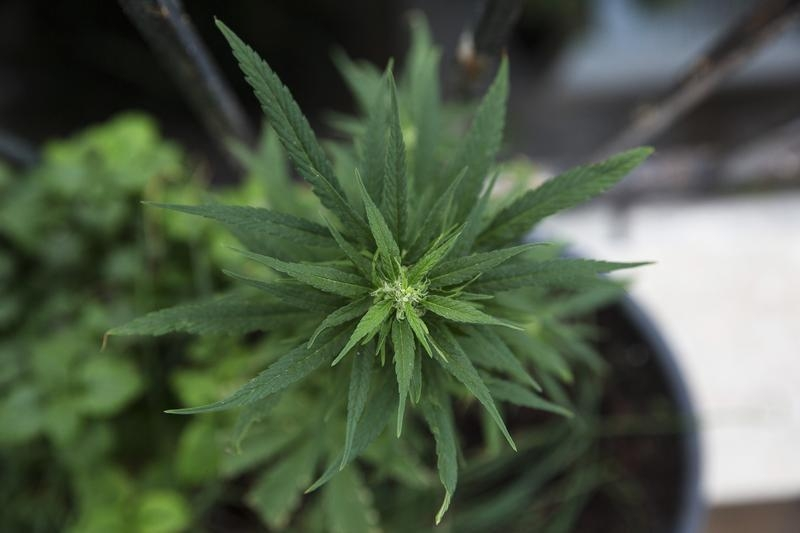 A homegrown marijuana plant is seen at an undisclosed location on Jan. 28, 2014