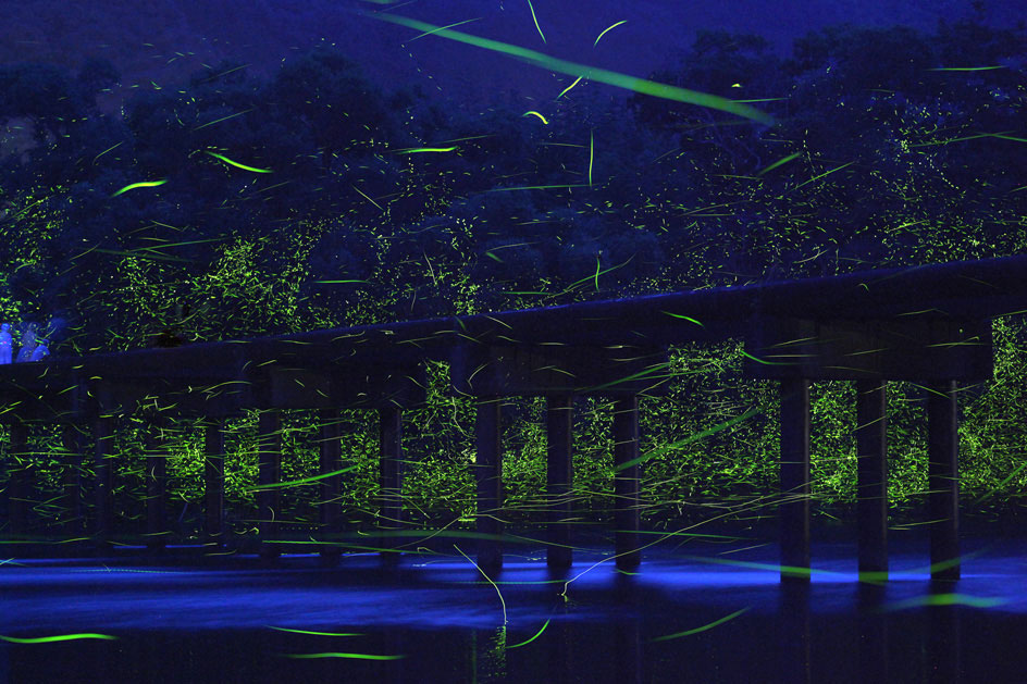 A small, low bridge over the Shimanto River, known as the last crystal clear river in Japan, with genji botaru fireflies (Luciola cruciate) in the early summer twilight.