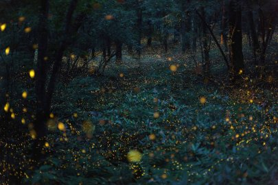 A flight of hime botaru fireflies (Hotaria parvula) or 'princess fireflies,' in the woods.