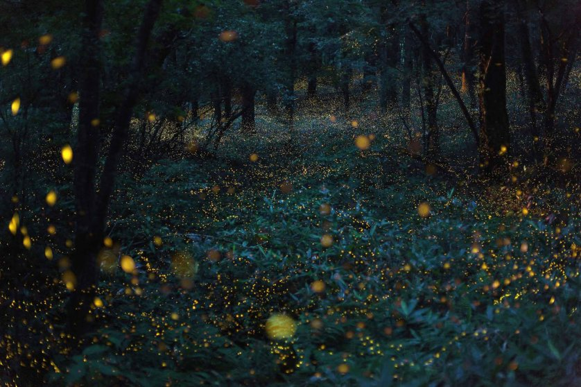 A flight of hime botaru fireflies (Hotaria parvula) or 'princess fireflies,' in the woods.
