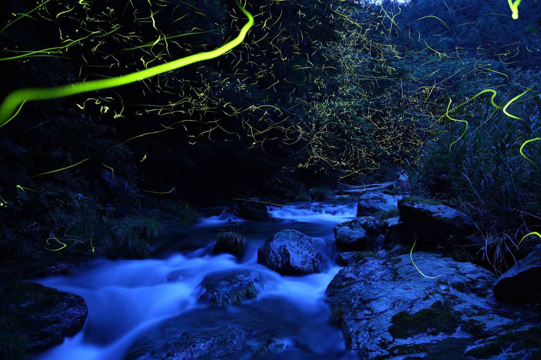 In the late afternoon after a rain, genji botaru fireflies (luciola curciate) above a creek.
