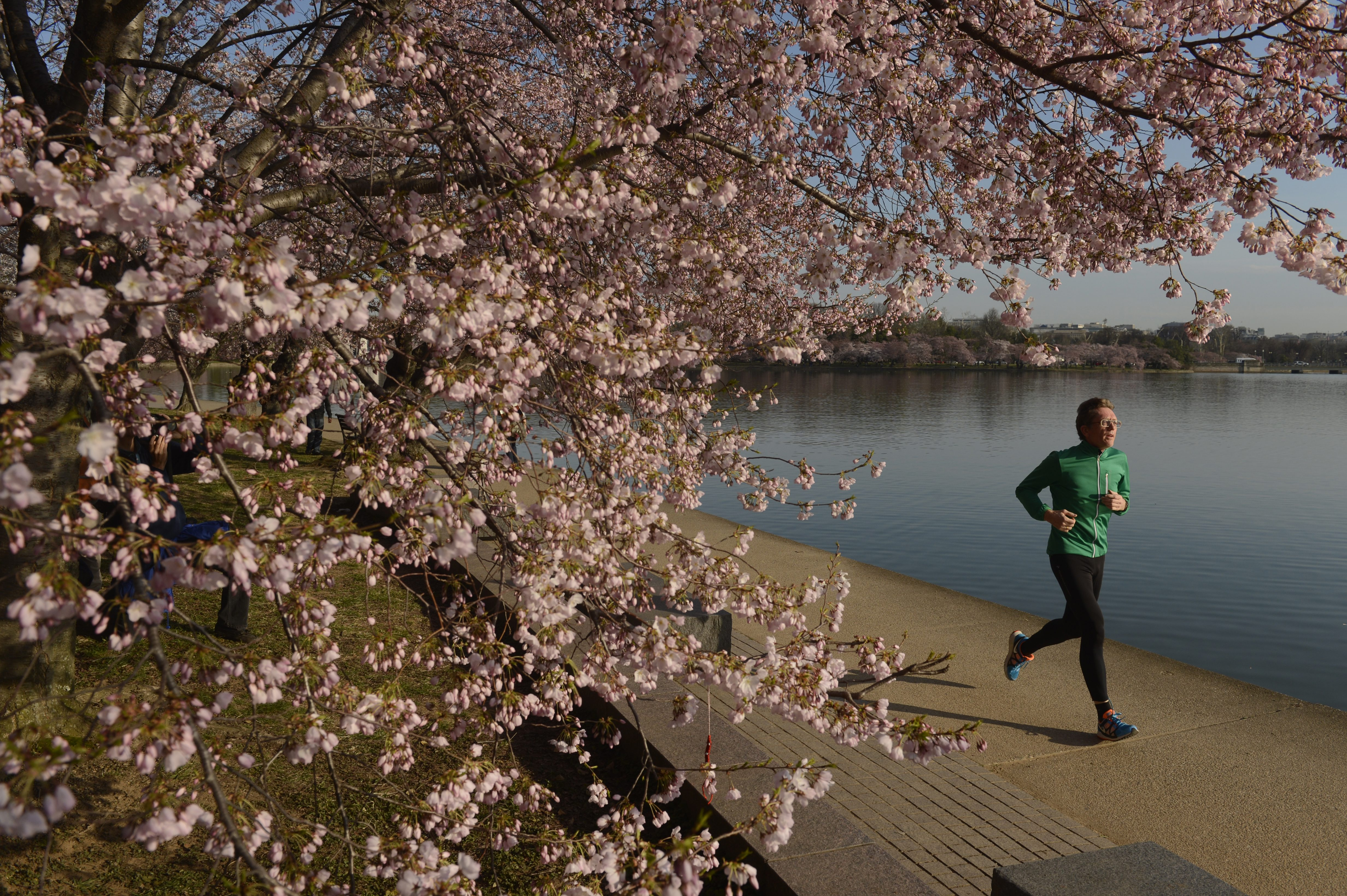 A man jogs beneath cherry blossoms in bloom at the Tidal Basin in Washington on April 8, 2013.