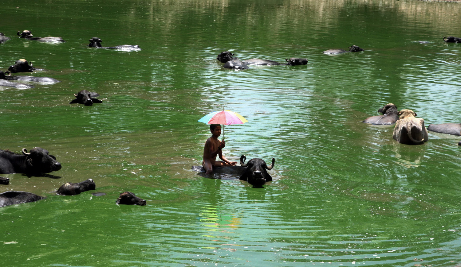 An Indian boy holds an umbrella to protect himself from the sun as he cools off along with his buffalos in a pond on the outskirts of Jammu, the winter capital of Kashmir, India, June 10, 2014.