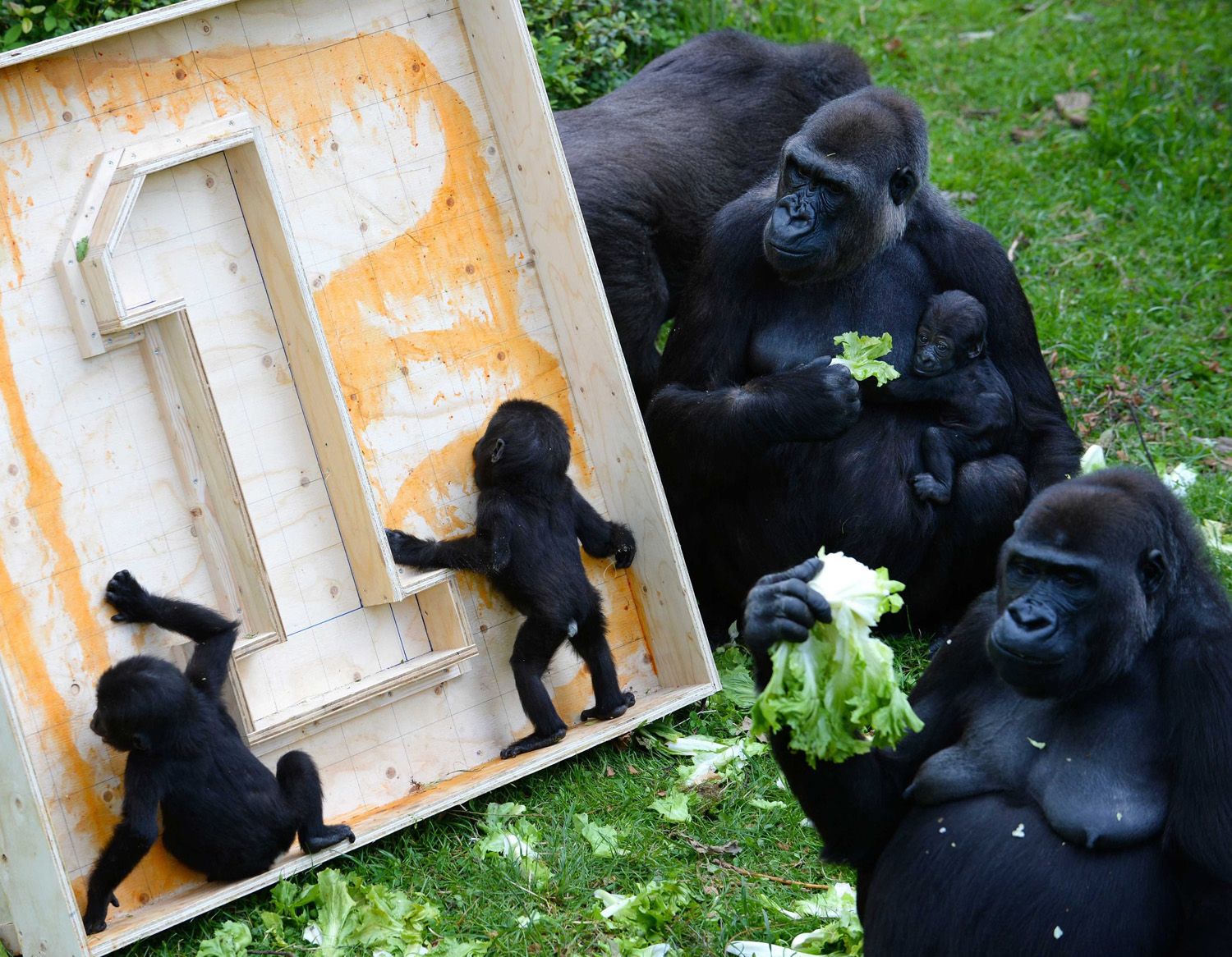 Two Gorilla twin babies 'celebrate' their birthday as they play in the Burgers' Zoo in Arnhem, Netherlands on June 13, 2014.
