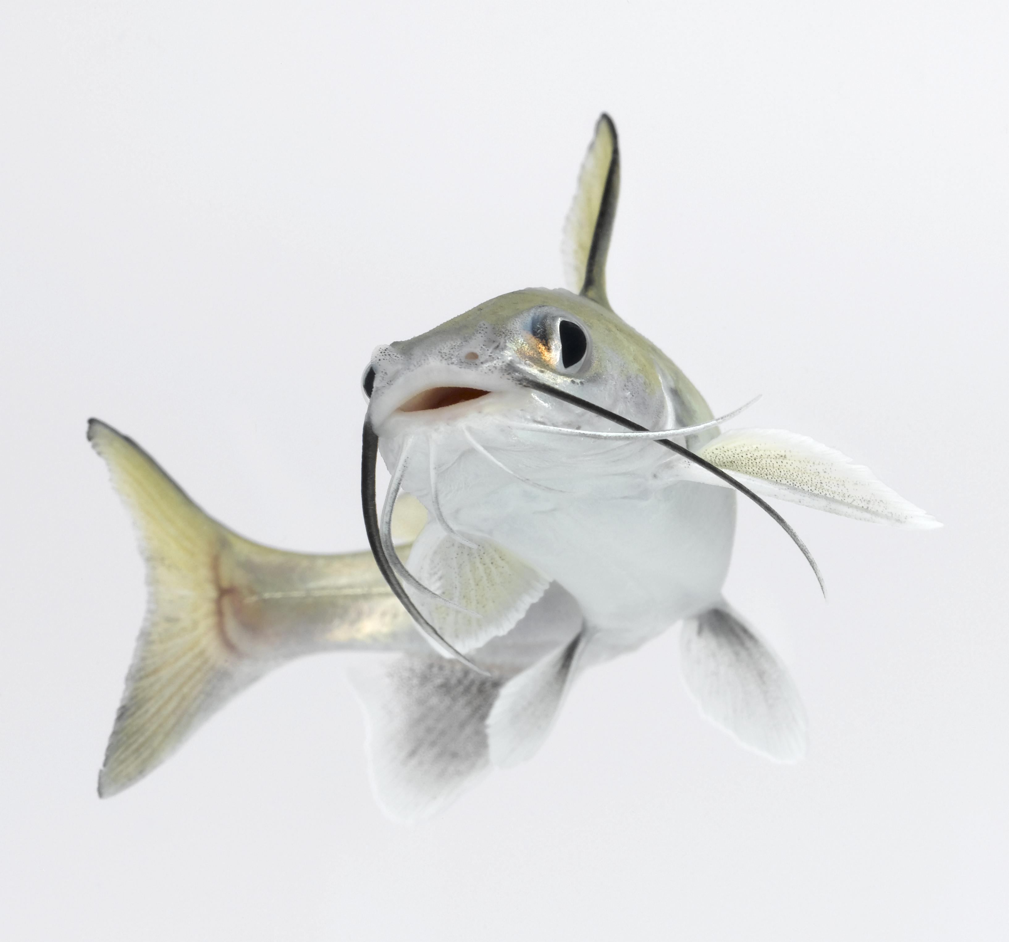 Tete sea catfish
