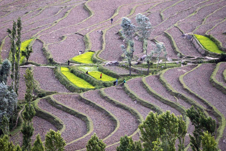 Jun. 10, 2014. Kashmiri farmers work in paddy fields at Bandipora, north of Srinagar.
