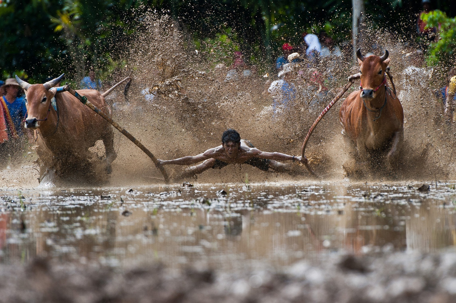 A man partakes in a traditional game, Pacu Jawi, in a field in Rambatan, Indonesia on June 14, 2014.